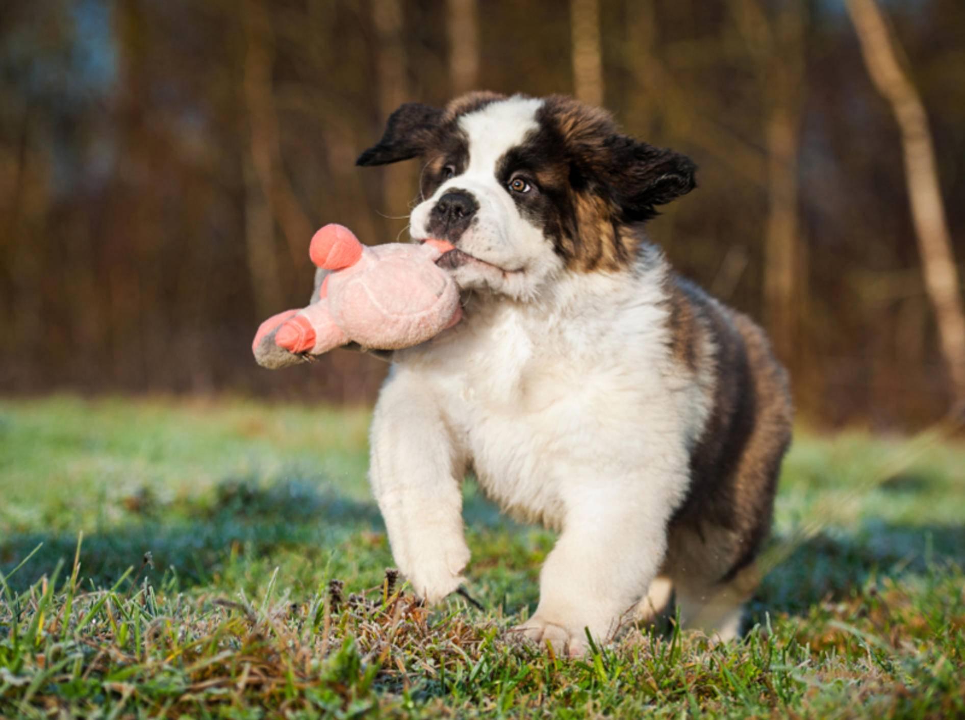 Bernhardiner sind nicht nur süß, sie verstecken auch gerne mal Spielzeug – Bild: Shutterstock / Rita Kochmarjova