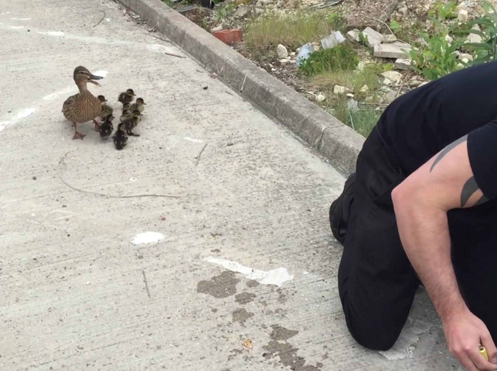 Danke, sagt die Entenmama zum tapferen Retter – YouTube / pippa tetley