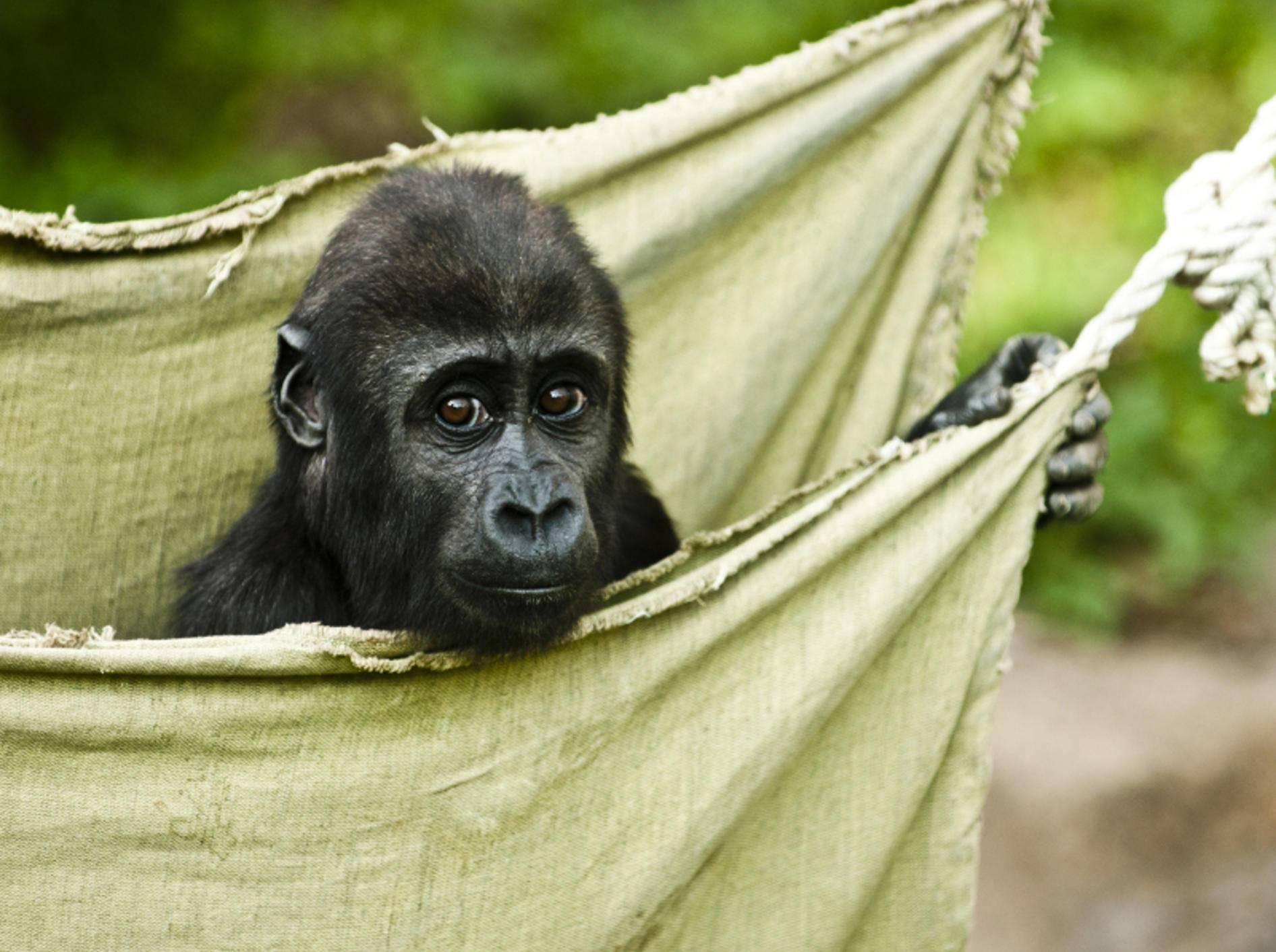 """""""Hallöchen! Ich bin ein Gorillababy. Bin ich nicht total niedlich?"""" – Bild: Shutterstock / Chelmicki"""