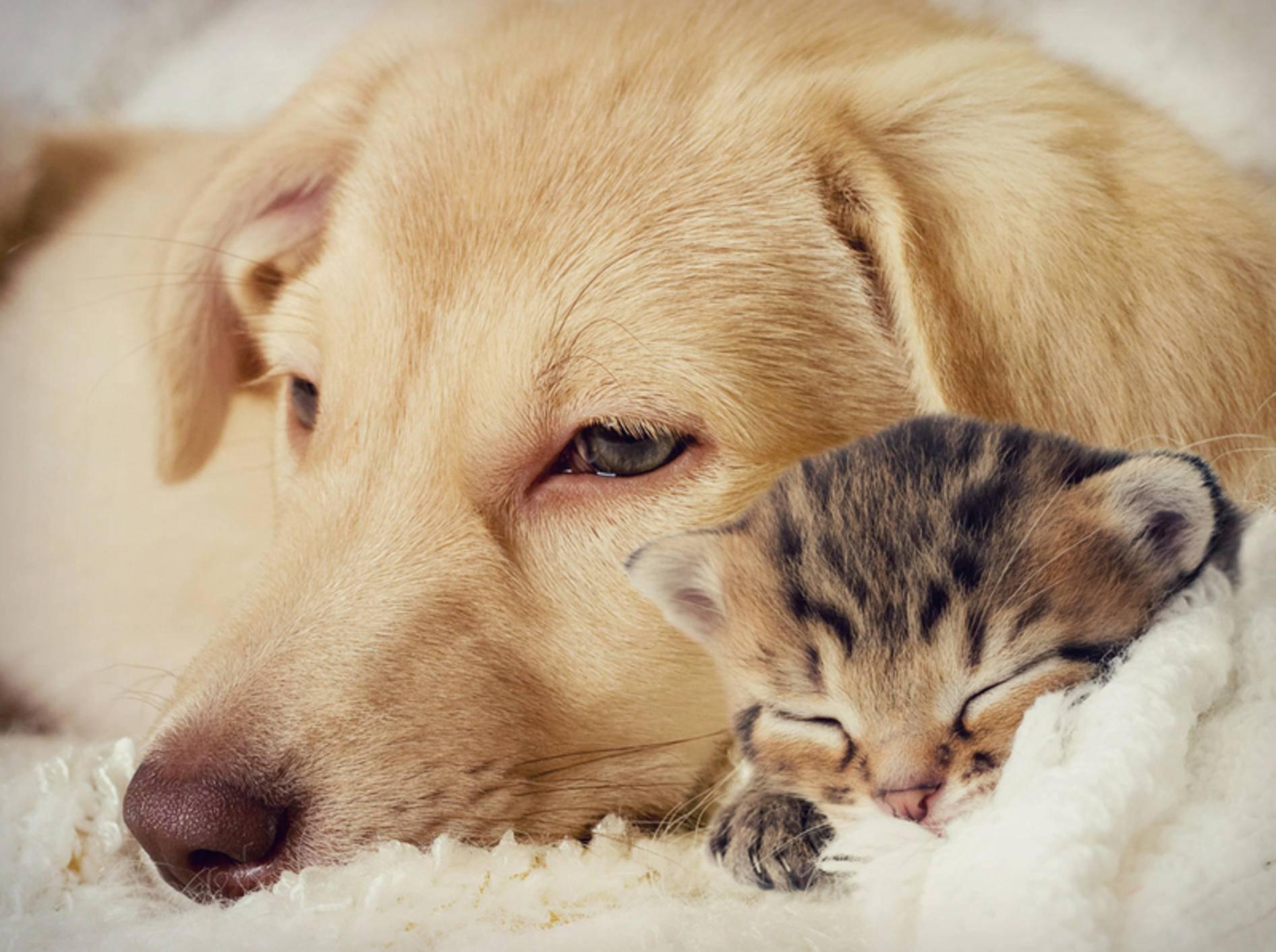 Hund und Katze können miteinander kuscheln – Bild: Shutterstock / gurinaleksandr