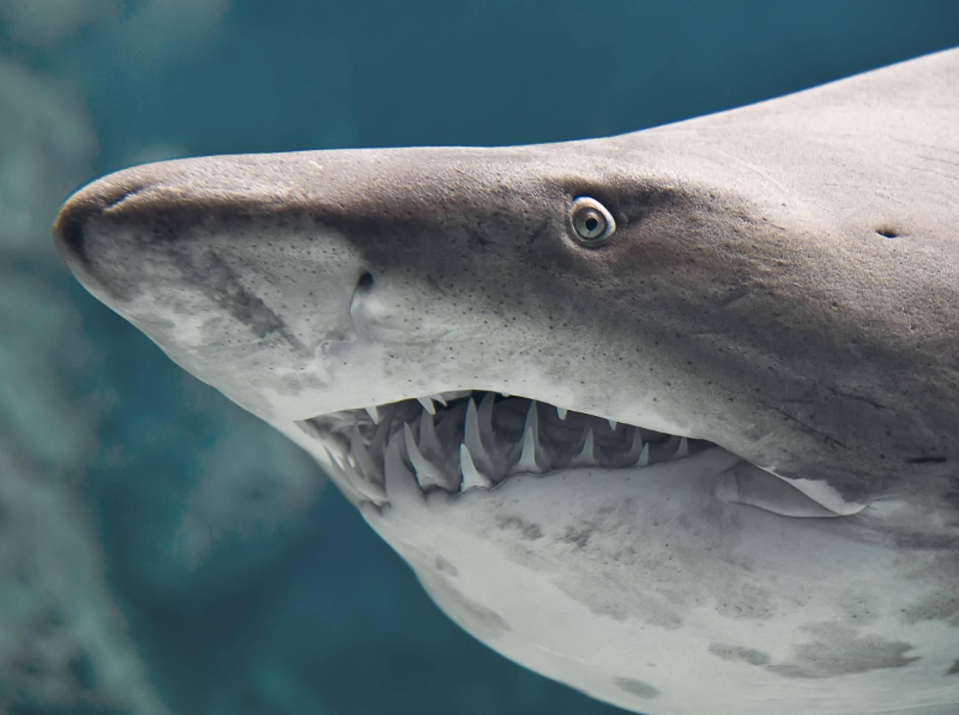 Hai ist nicht gleich Hai: Auf der ganzen Welt gibt es rund 500 Arten dieser Fische – Bild: Shutterstock / Havoc