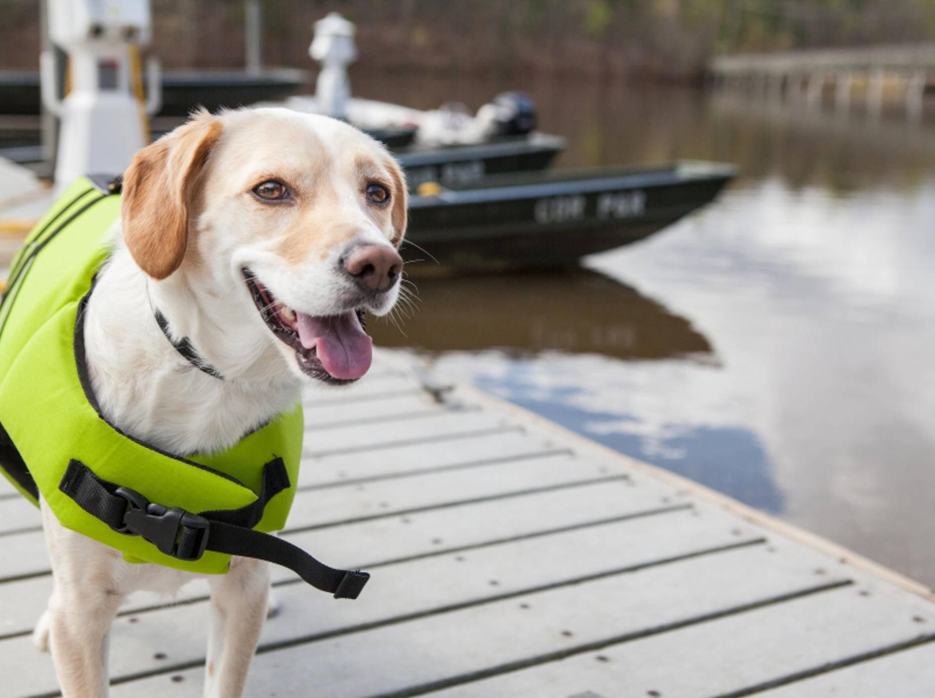 Sicher ist sicher: Hund mit Schwimmweste – Shutterstock / InBetweentheBlinks