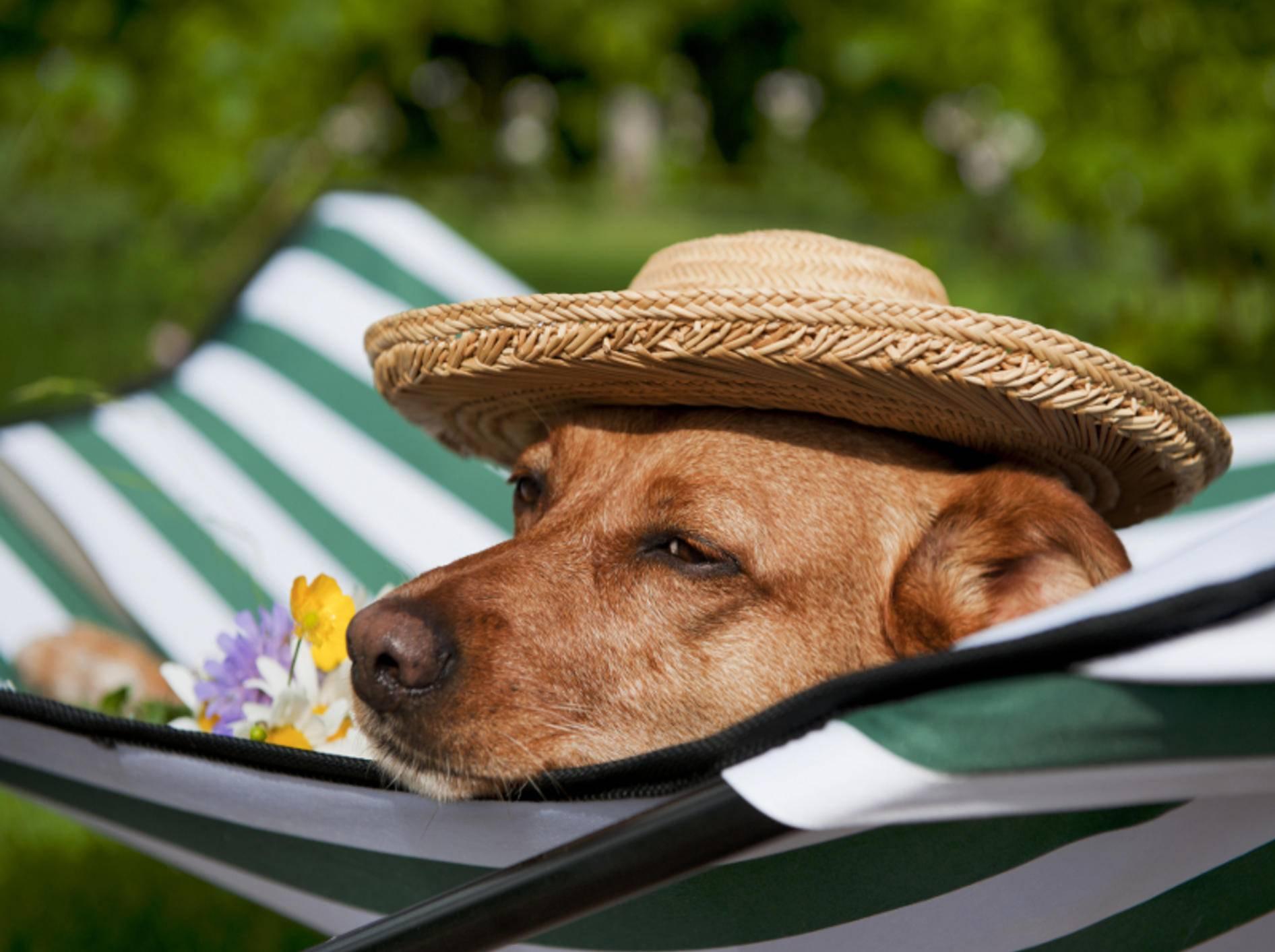 Ein Sonnenstich kann für den Hund gefährlich werden – Shutterstock / Ivonne Wierink