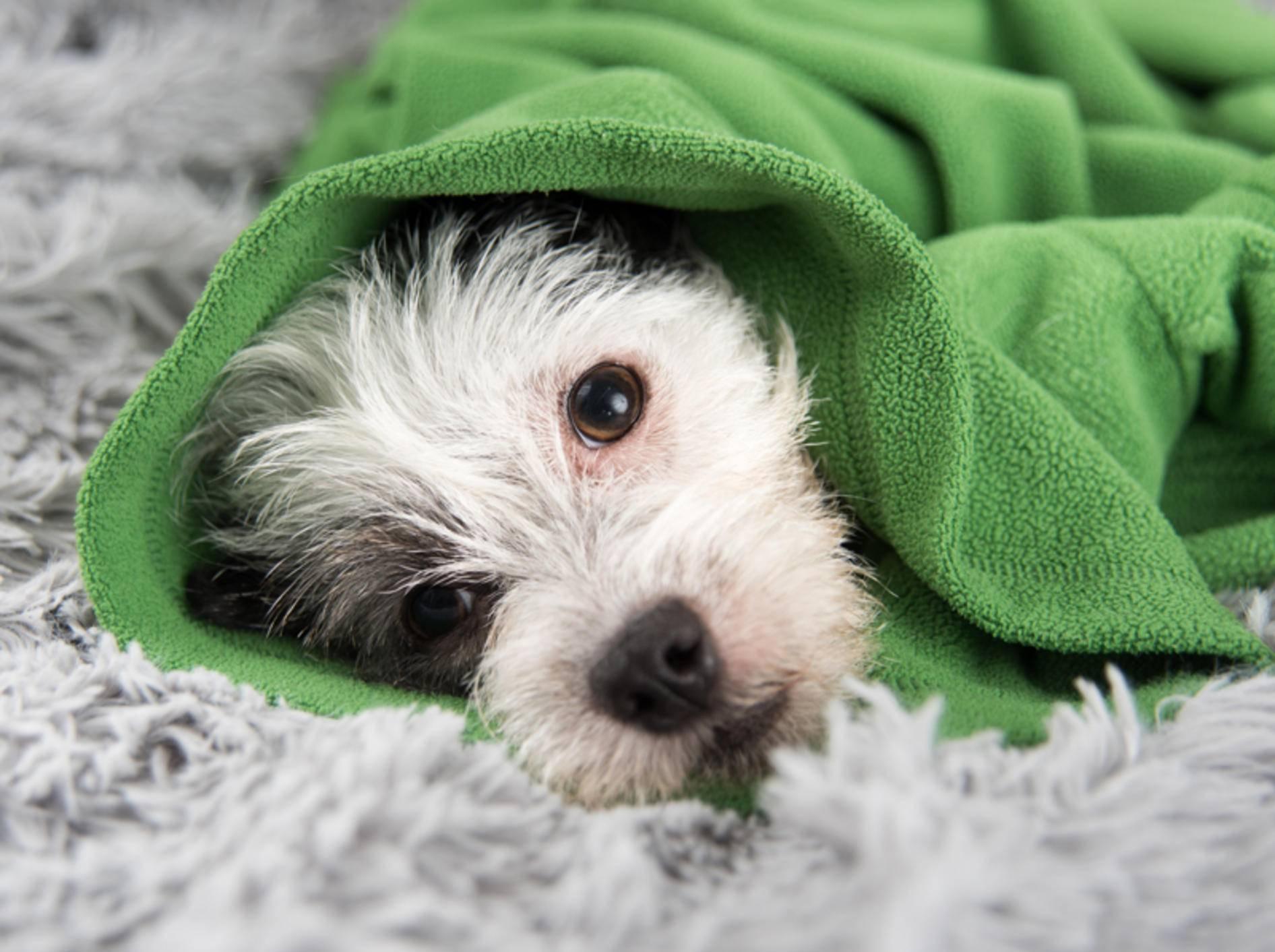 Ist Ihr Hund nur ein wenig schlapp oder handelt es sich um einen Notfall? – Shutterstock / Anna Hoychuk