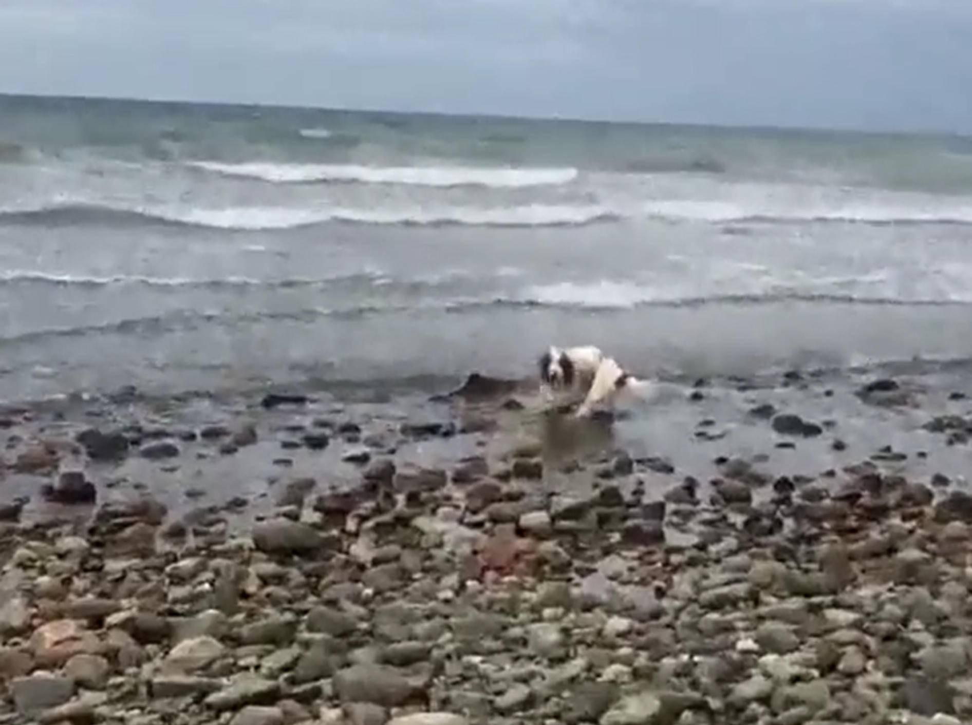 Ohne den mutigen Hund hätte der Baby-Delfin nicht zurück ins Meer gefunden – YouTube / Criccieth Life