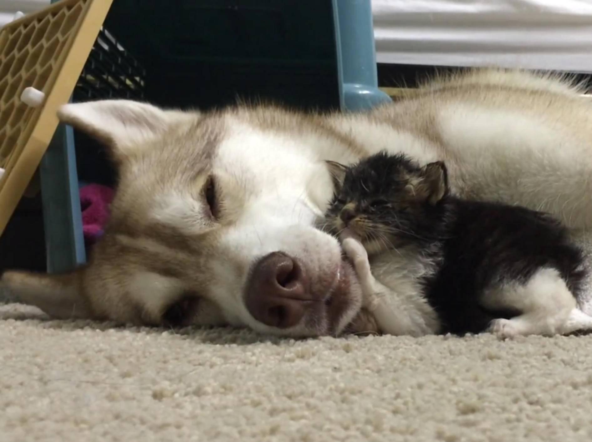 Wahre Freundschaft: Husky Lilo und Baby-Katze Rosie – YouTube / Lilothehusky