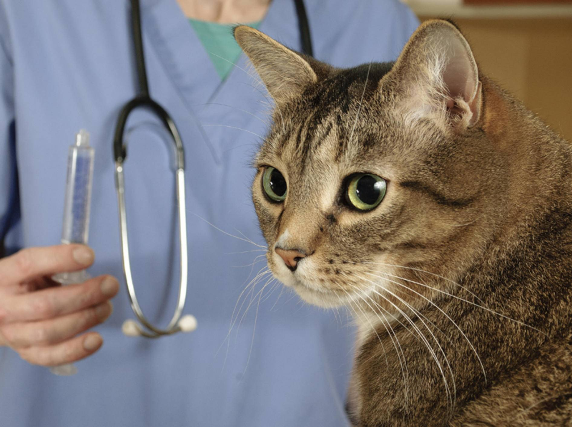 Bei einem Notfall muss die Katze sofort zum Tierarzt – Shutterstock / Mr. Nikon