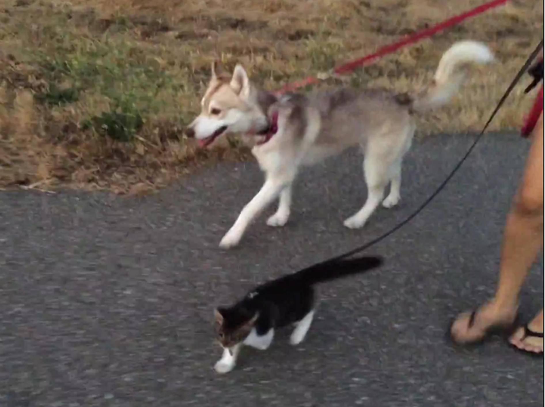 Katze Rosie und Husky Lilo gehen Gassi – YouTube / Lilothehusky