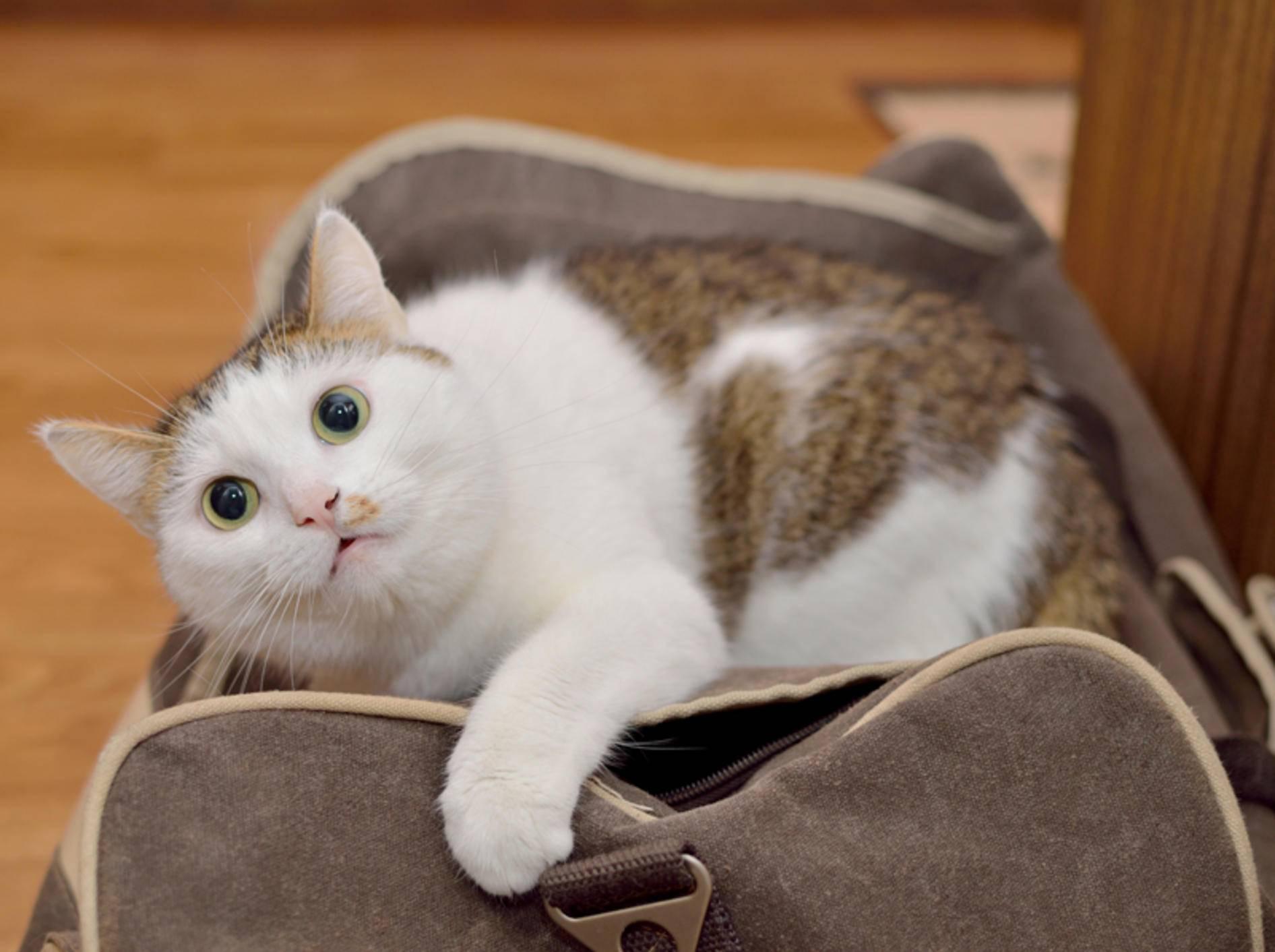 Im Urlaub braucht die Katze einen aktuellen EU-Heimtierausweis – Shutterstock / Nadinelle