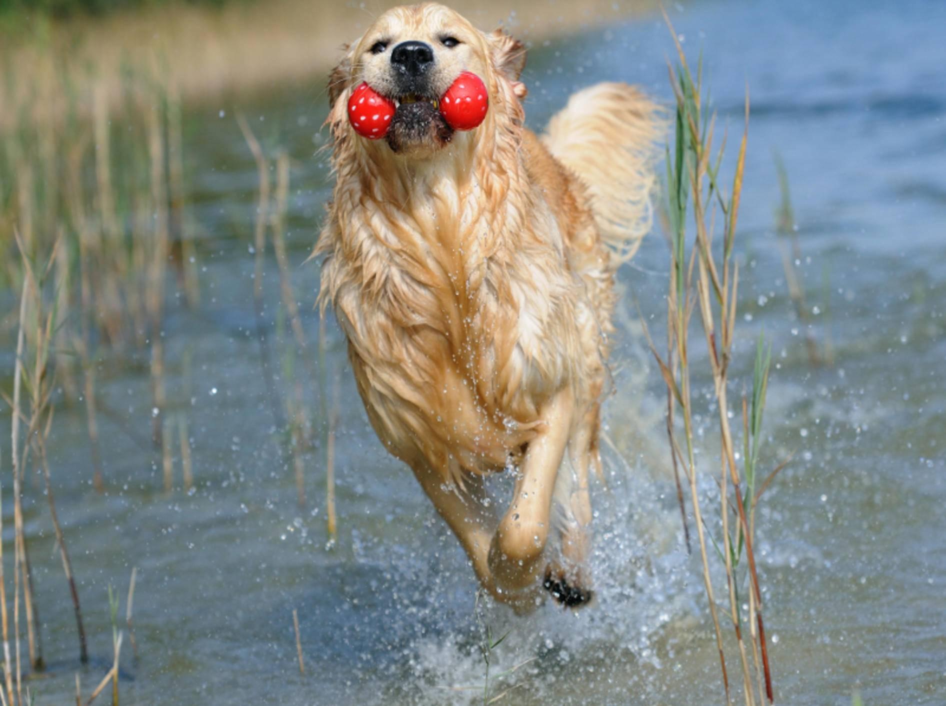 Plitsch, Platsch! Dieser Hund hat Spaß im Wasser – Shutterstock / AnetaPics