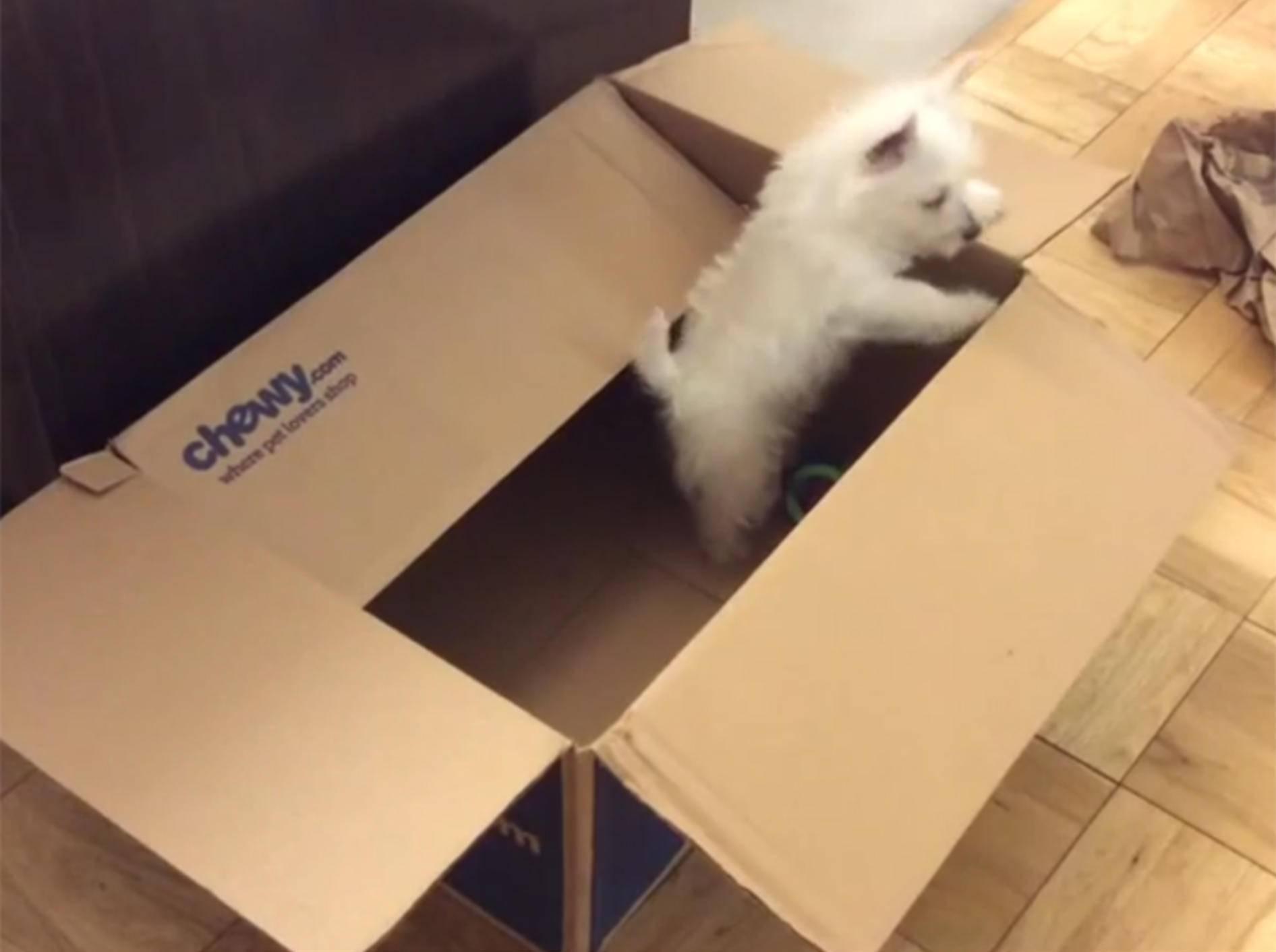 """""""Ich will hier raus!"""", denkt der süße West Highland Terrier Welpe – YouTube / Rumble Viral"""
