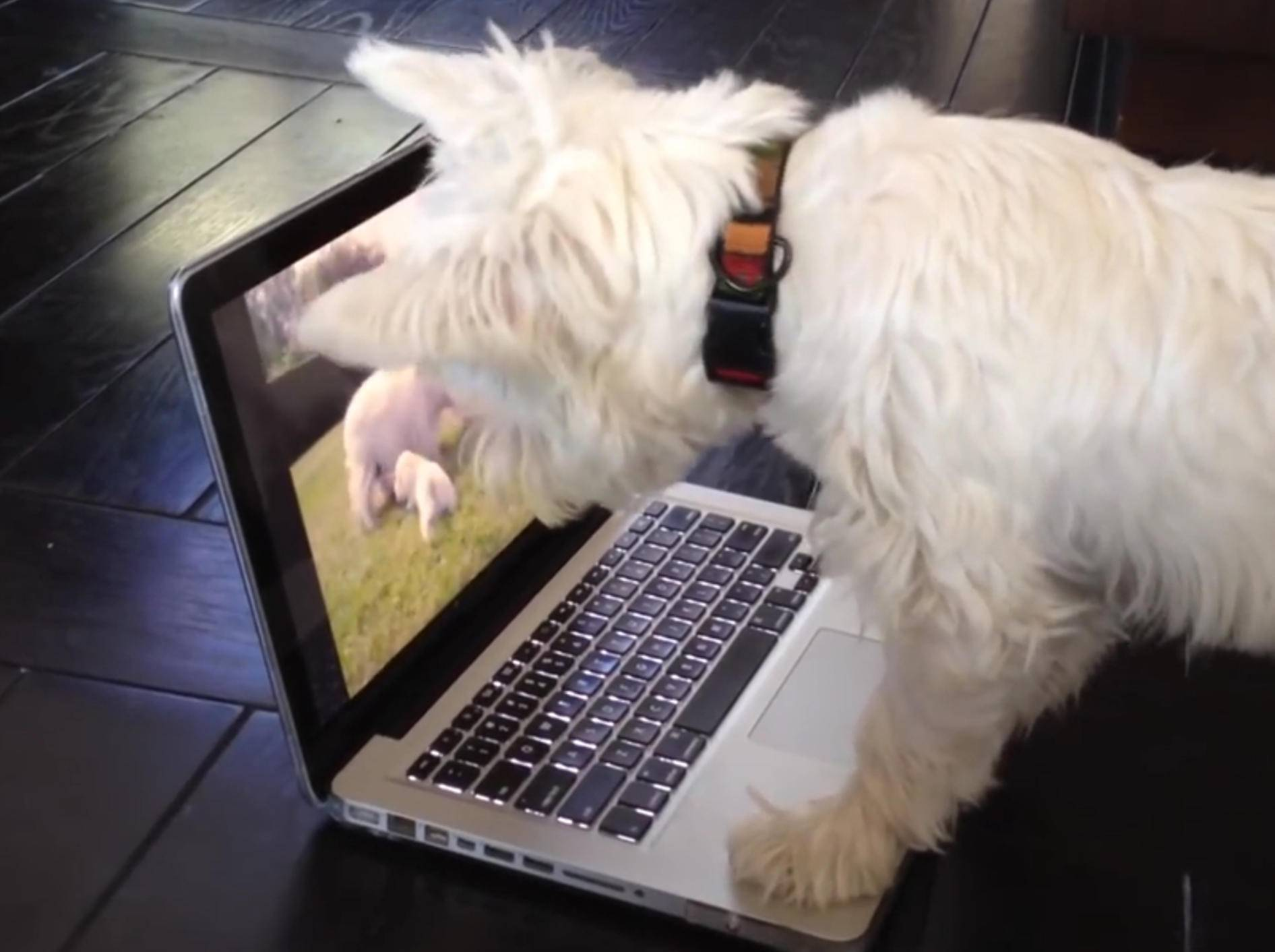 West Highland White Terrier verwirrt von Video – Bild: YouTube / CutiesNFuzzies