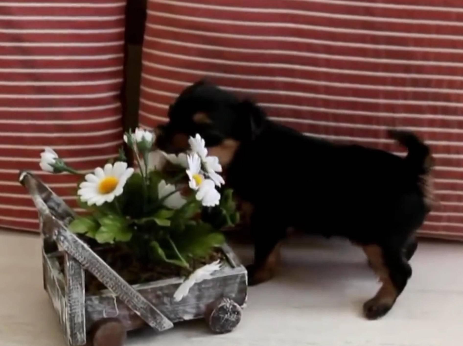 """Yorkshire Terrier: """"Ich liebe Margeriten!"""" – Bild: YouTube / Miss Aww"""