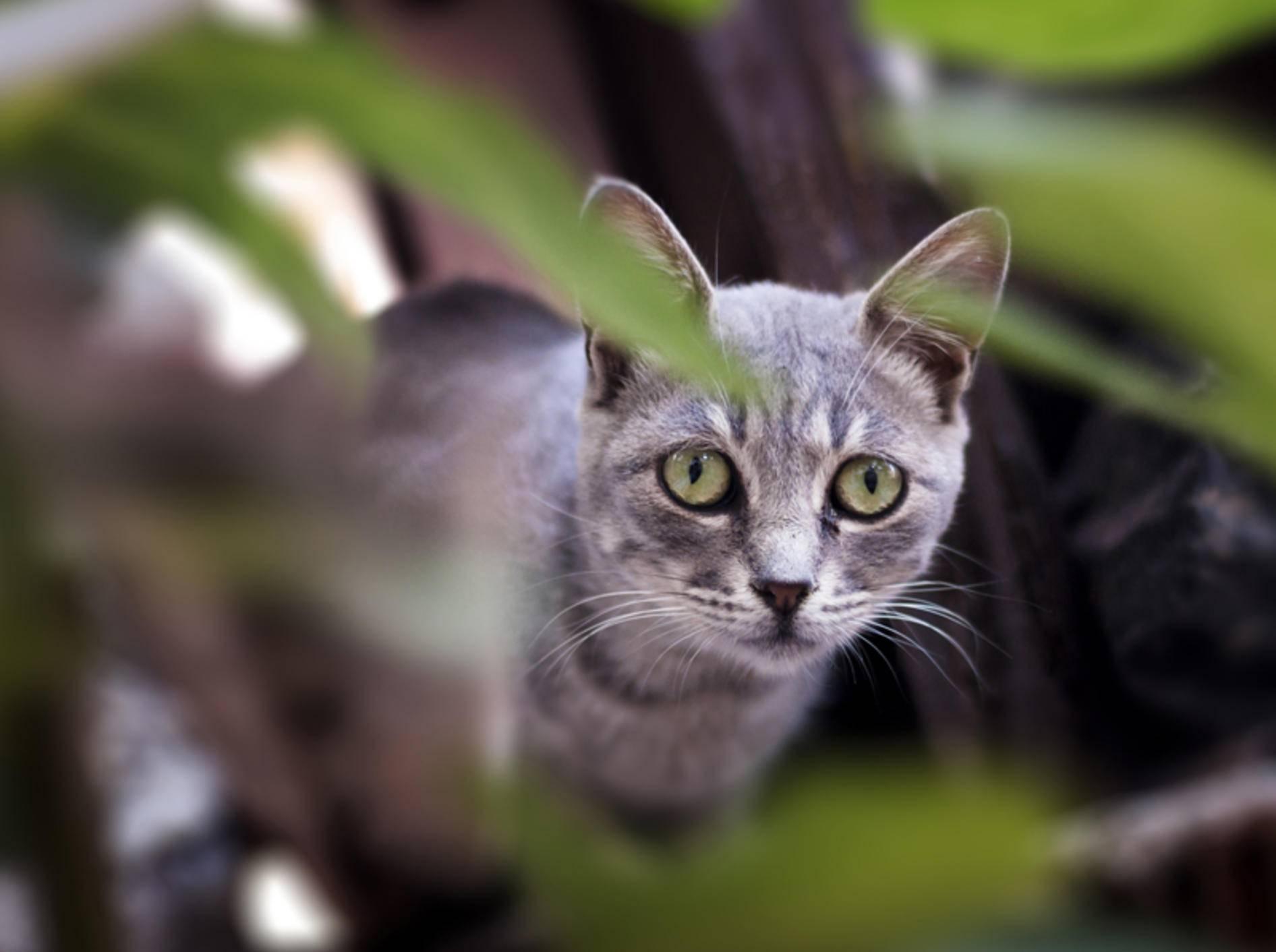 Nebelgraue Schönheit: Die Australian Mist Katze – Shutterstock / arda savasciogullari