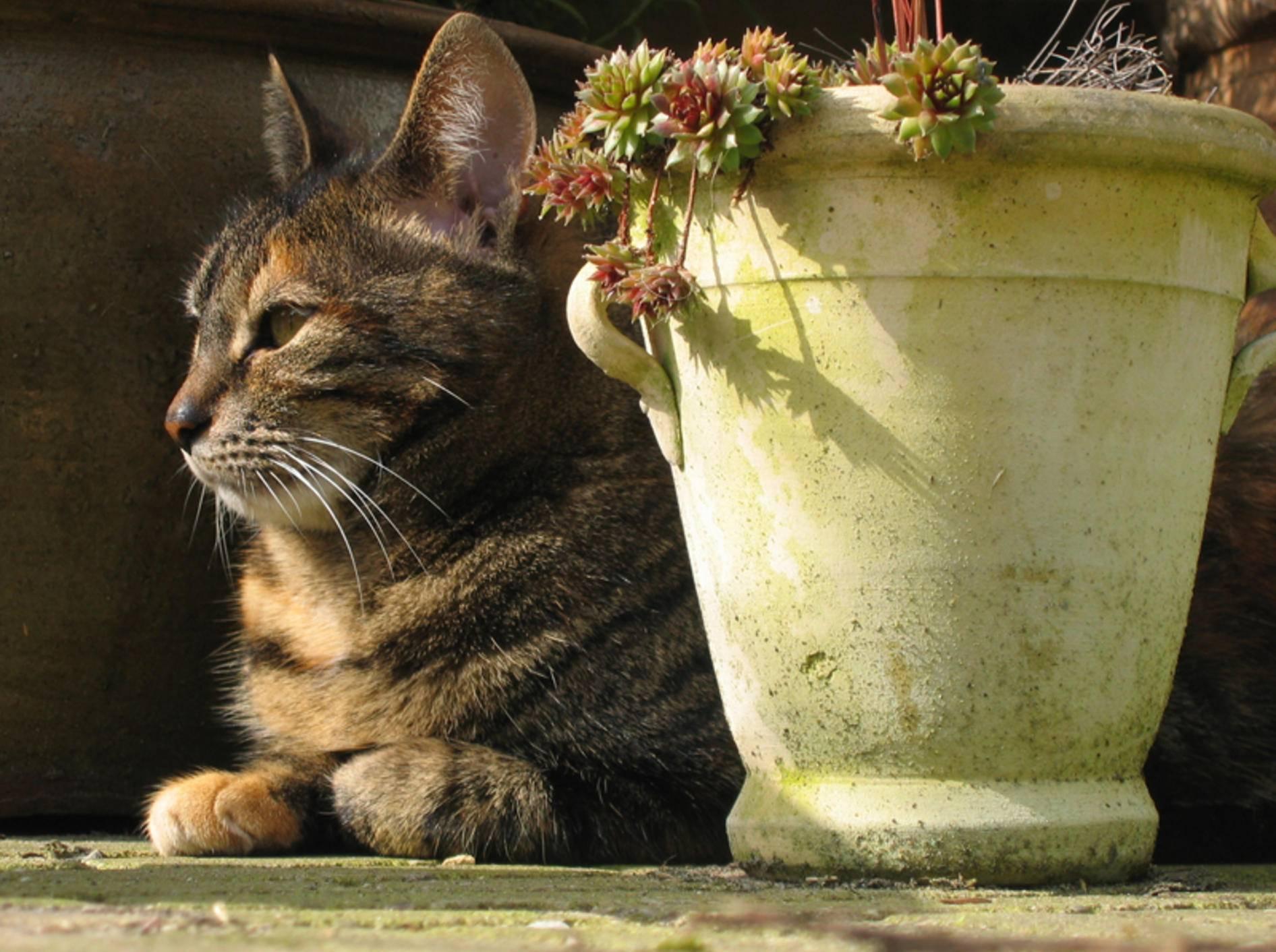 Topfpflanzen schützen Katzen vor einem Sonnenstich – Shutterstock / Keimpe Roedema
