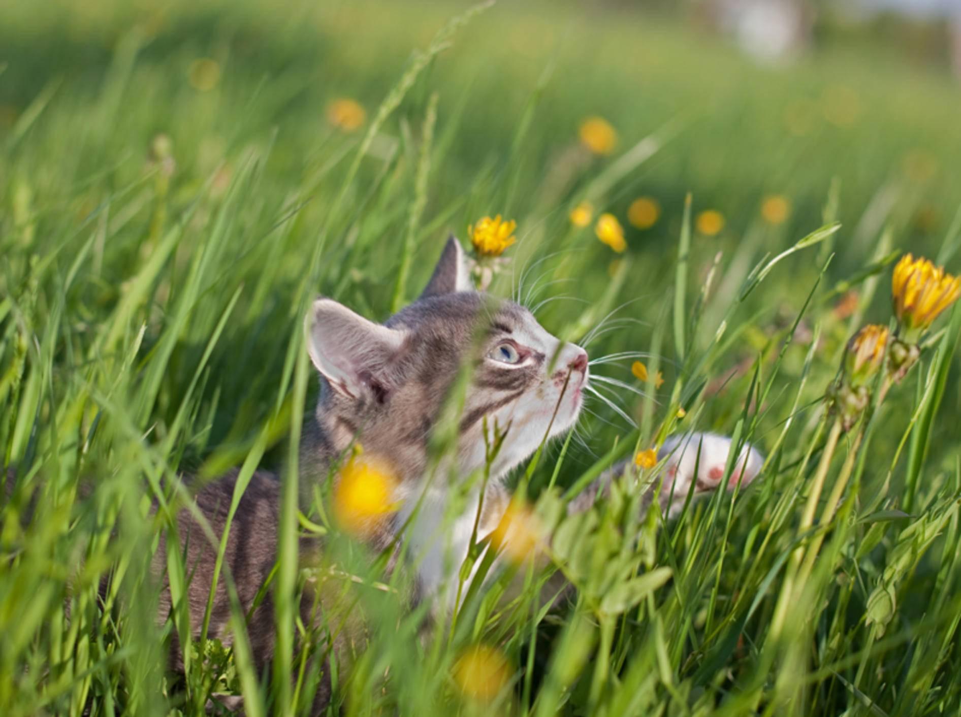 Im hohen Gras kann sich eine Katze schon mal einen Wespenstich einfangen – Shutterstock / Poprugin Aleksey