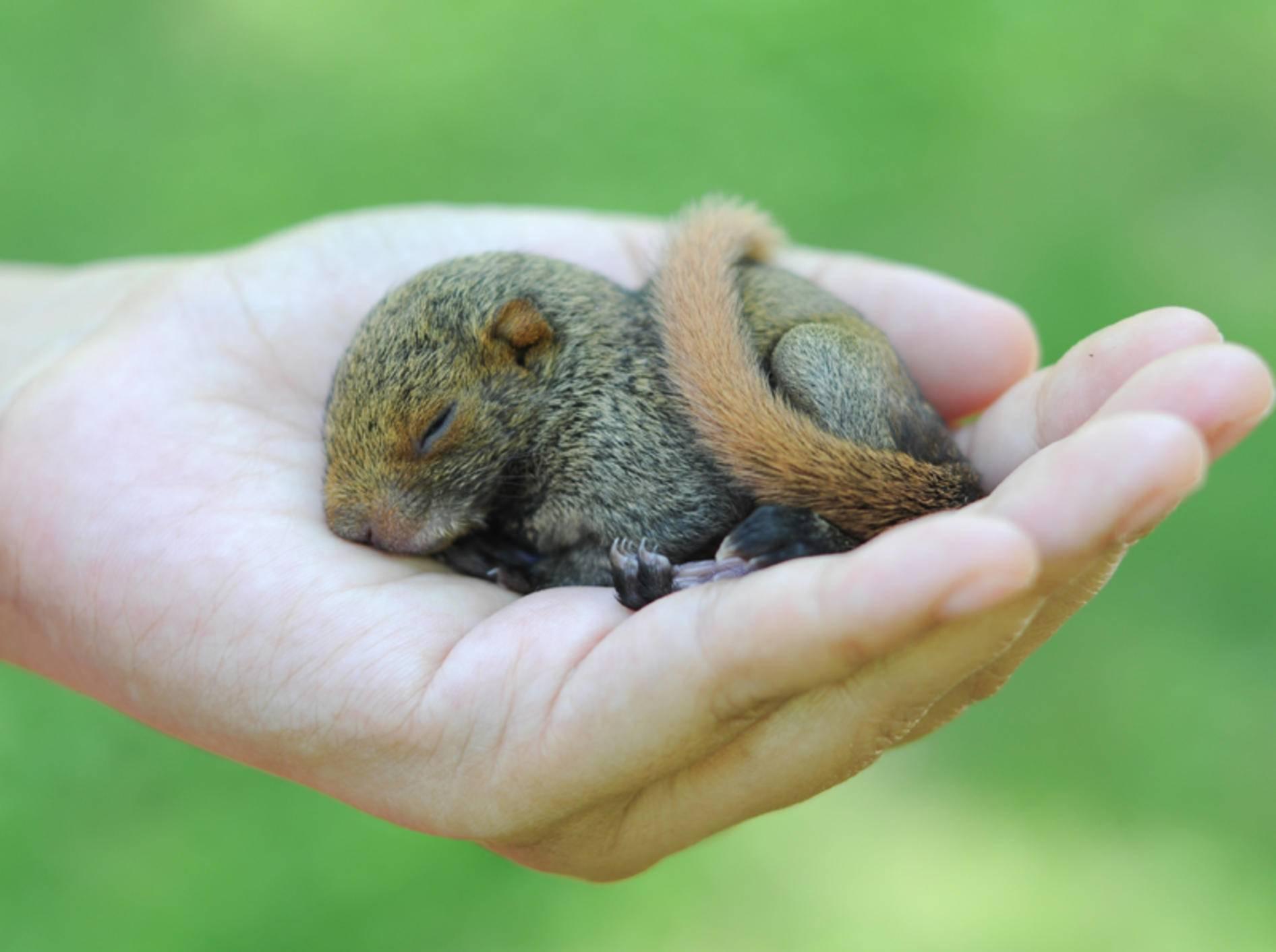 Baby-Eichhörnchen suchen im Notfall oft menschliche Nähe – Shutterstock / Boykung