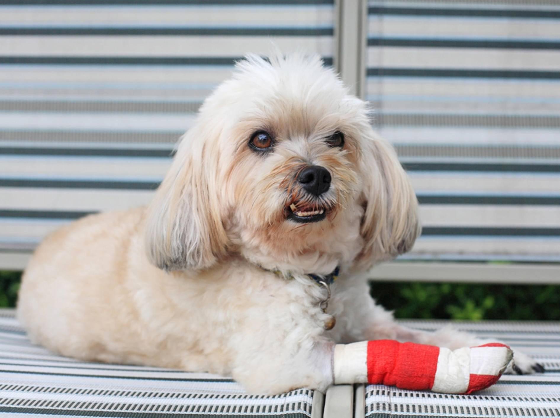 Gute Besserung, kleiner Shih Tzu! Hund mit verletzter Pfote – Shutterstock / Blanscape
