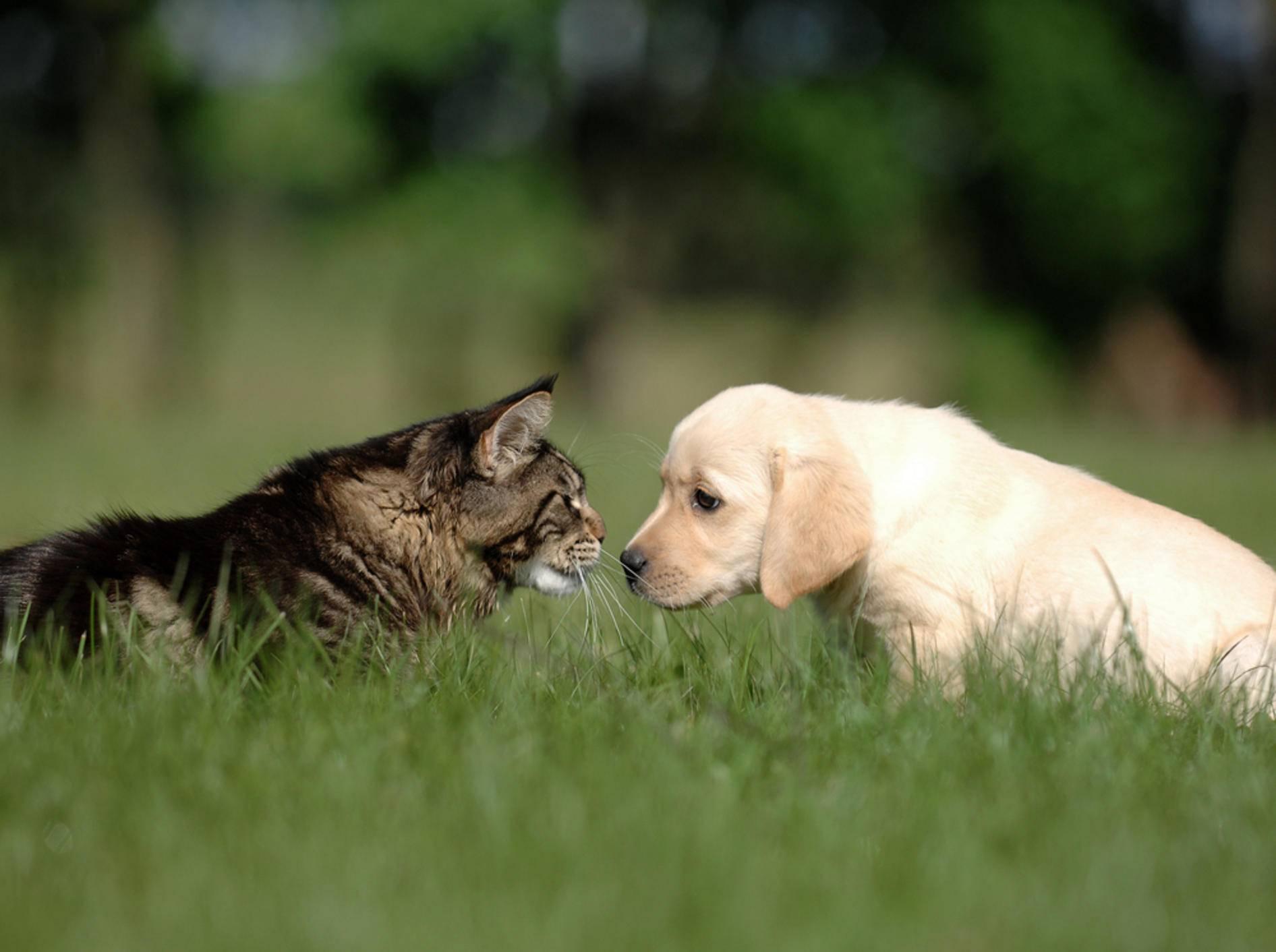 Hund und Katze können sich durchaus aneinander gewöhnen – Bild: Shutterstock / Okeanas