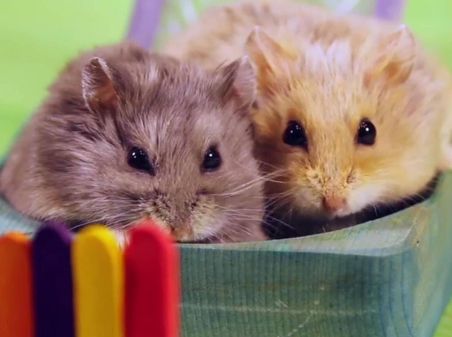 Kuschelsüße Mini-Hamster haben Spaß auf ihrem Spielplatz – YouTube / AprilsAnimals