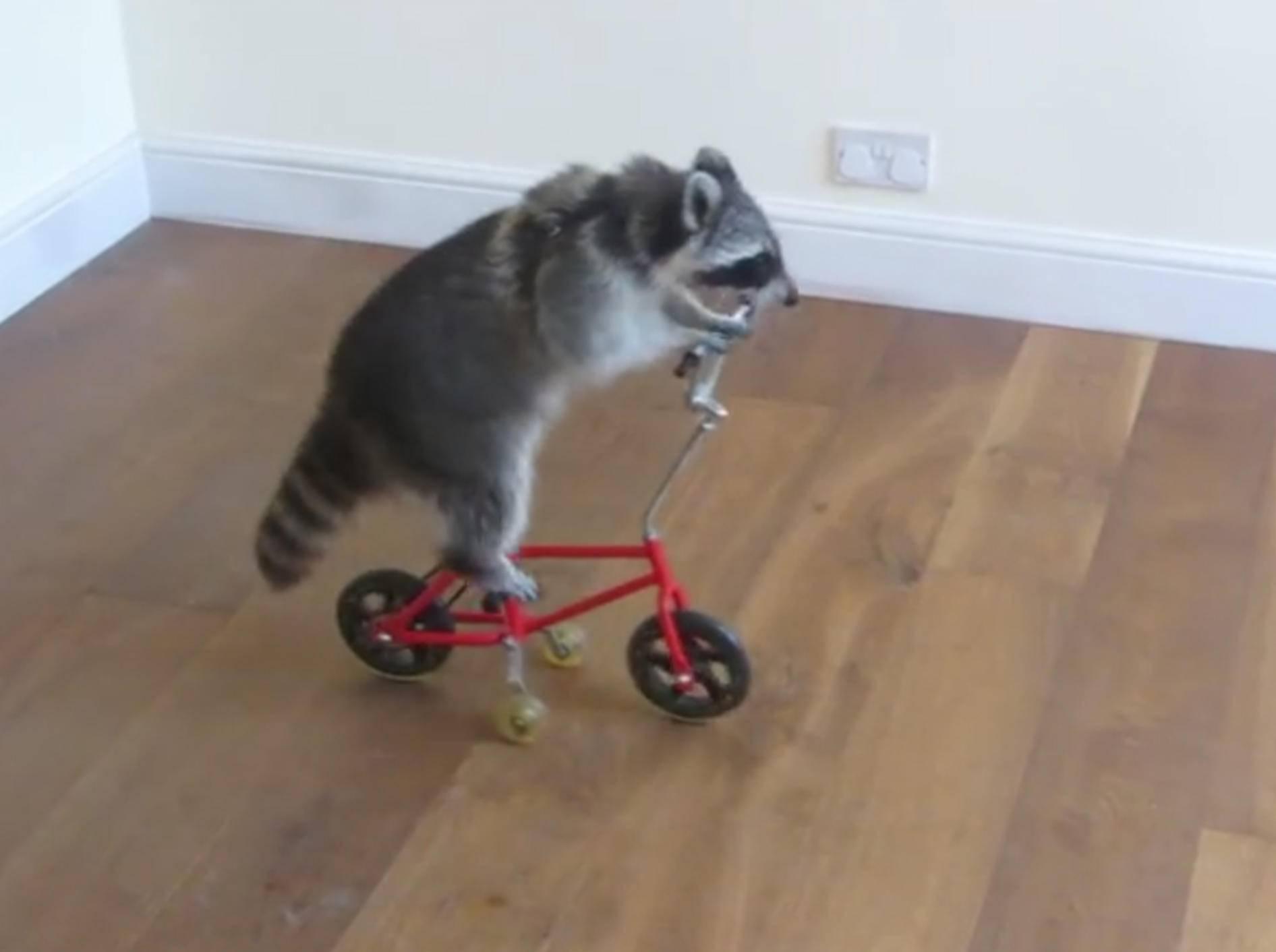 Hui, dieser Waschbär fährt gern Fahrrad – YouTube / Melanie Raccoon