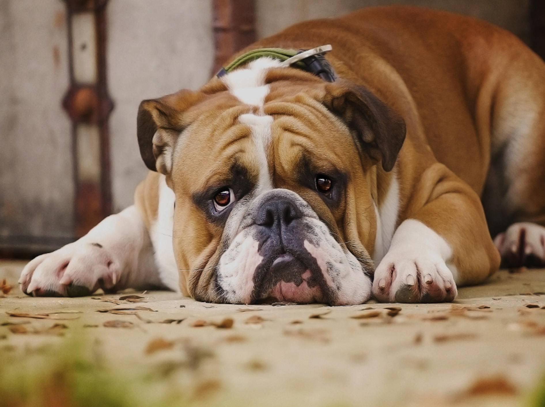 Hund mit Depressionen? Eine Therapie kann helfen – Shutterstock / Best dog photo