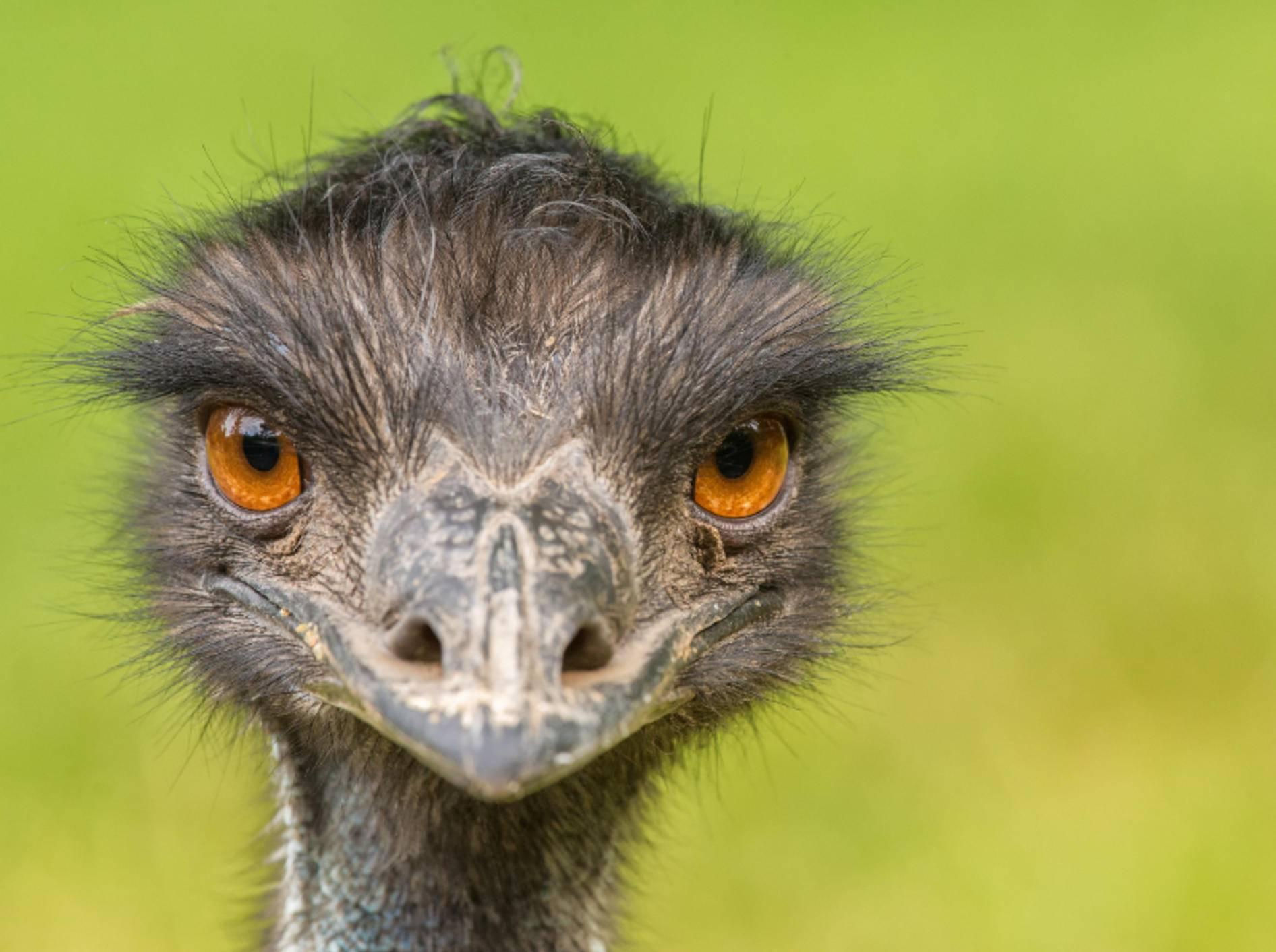 Der Große Emu ist die einzige noch lebende Art der Emus – BIld: Shutterstock / Nick Fox