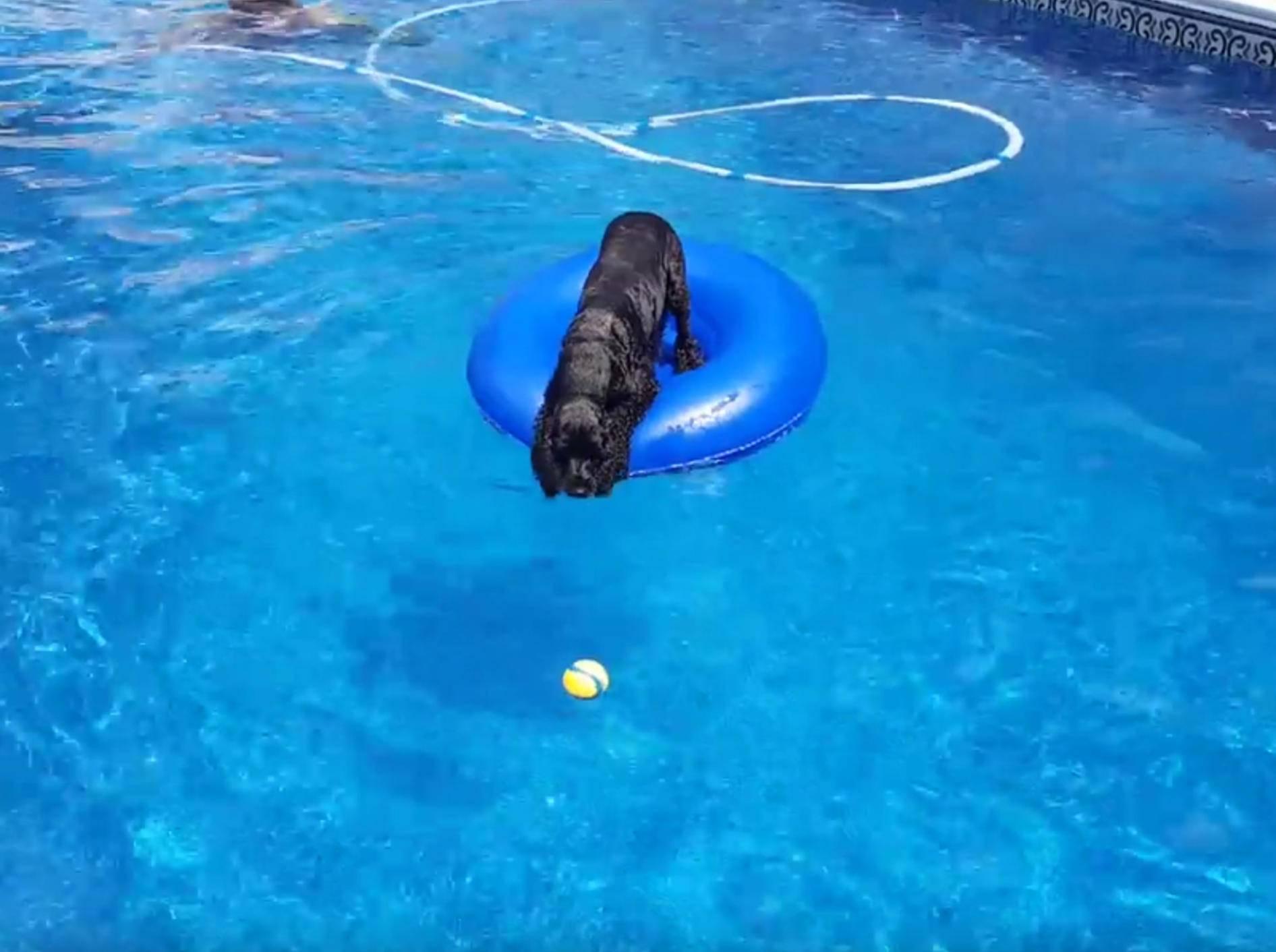 English Cocker Spaniel fischt Ball aus Pool, ohne nass zu werden – Bild: YouTube / Chantille C