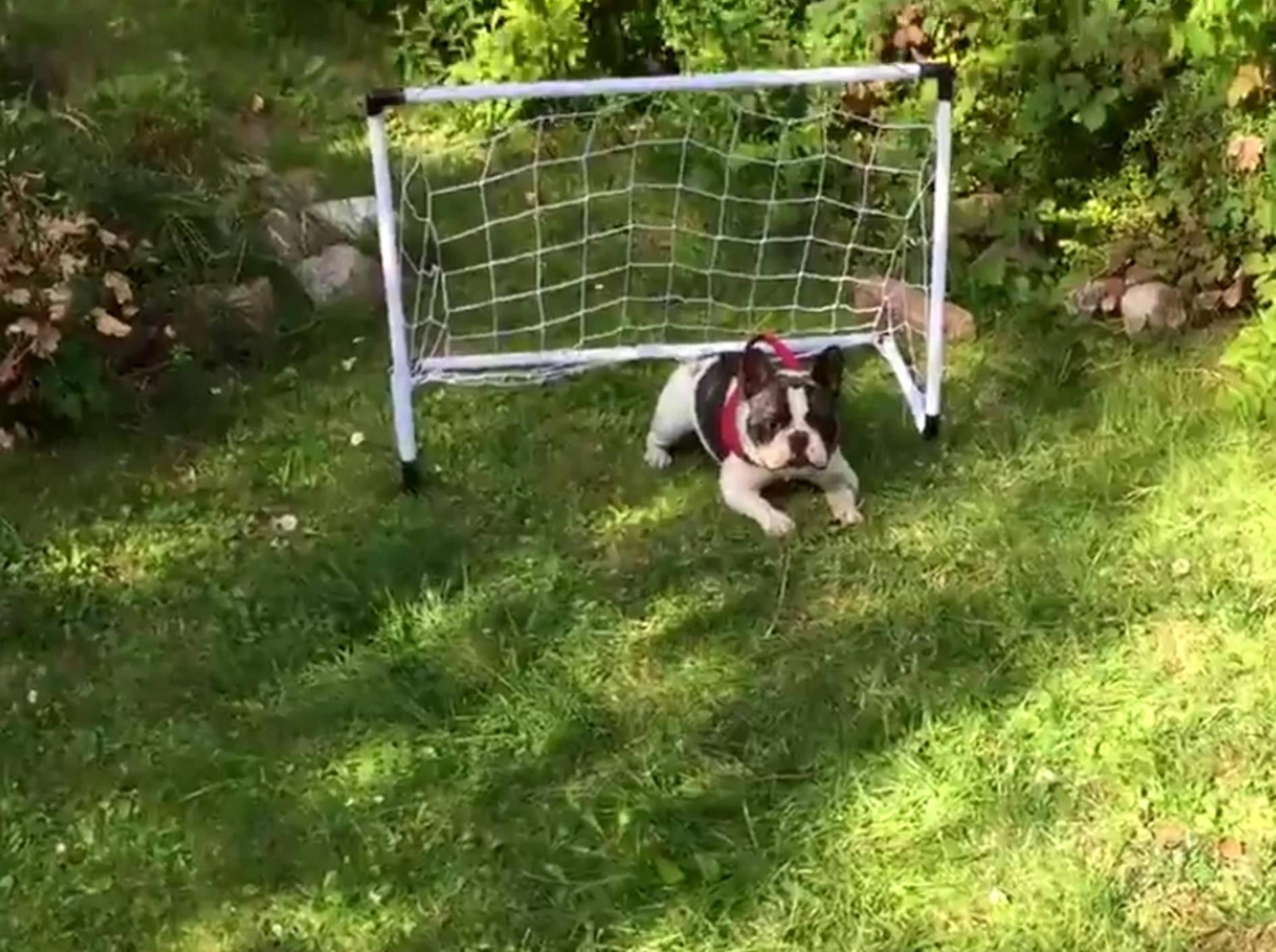 Französische Bulldogge übt sich als Torwart – Bild: YouTube / Rumble Viral