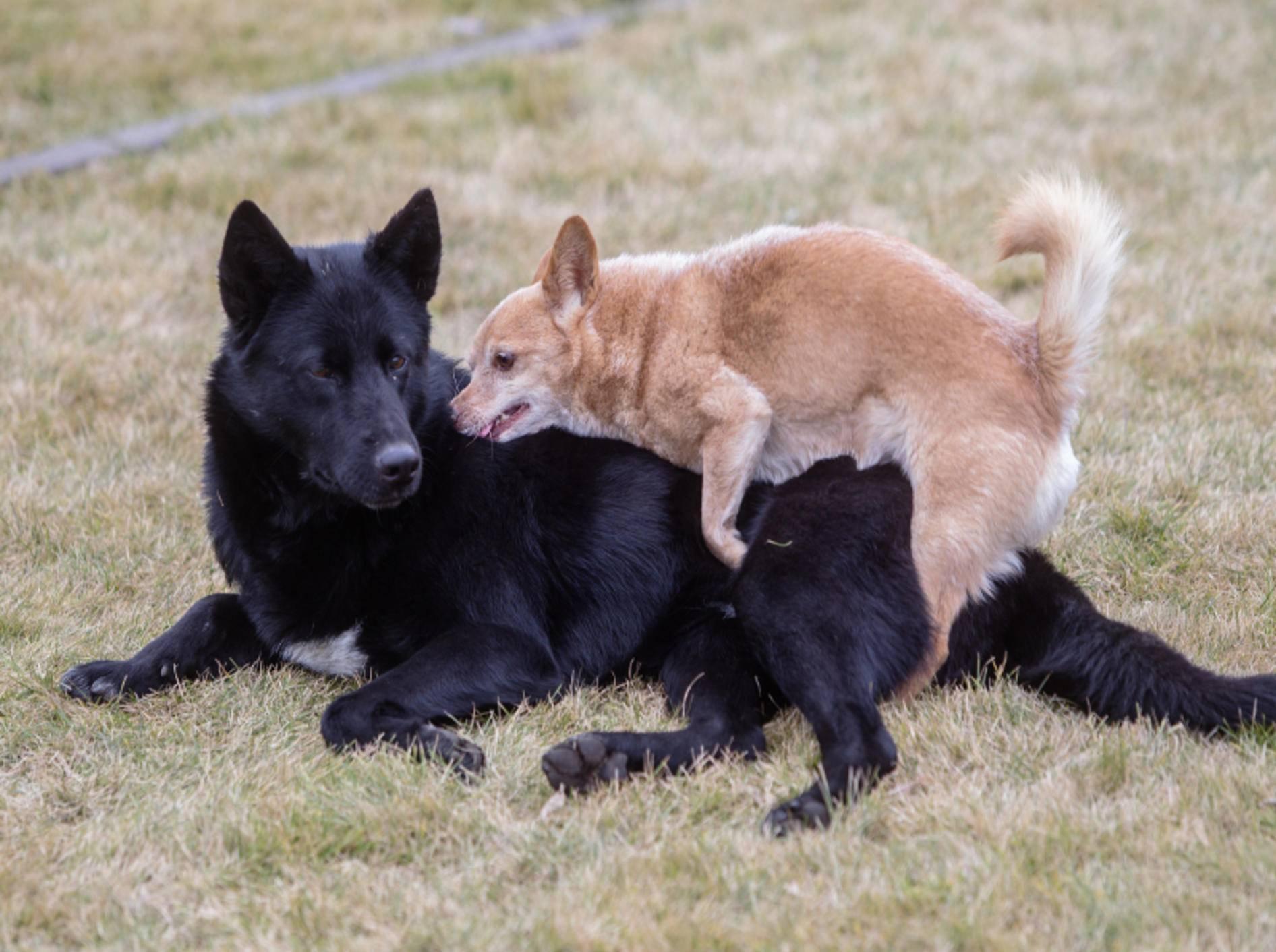 Warum wollen manche Hunde ständig aufreiten? – Shuttestock / Liukov