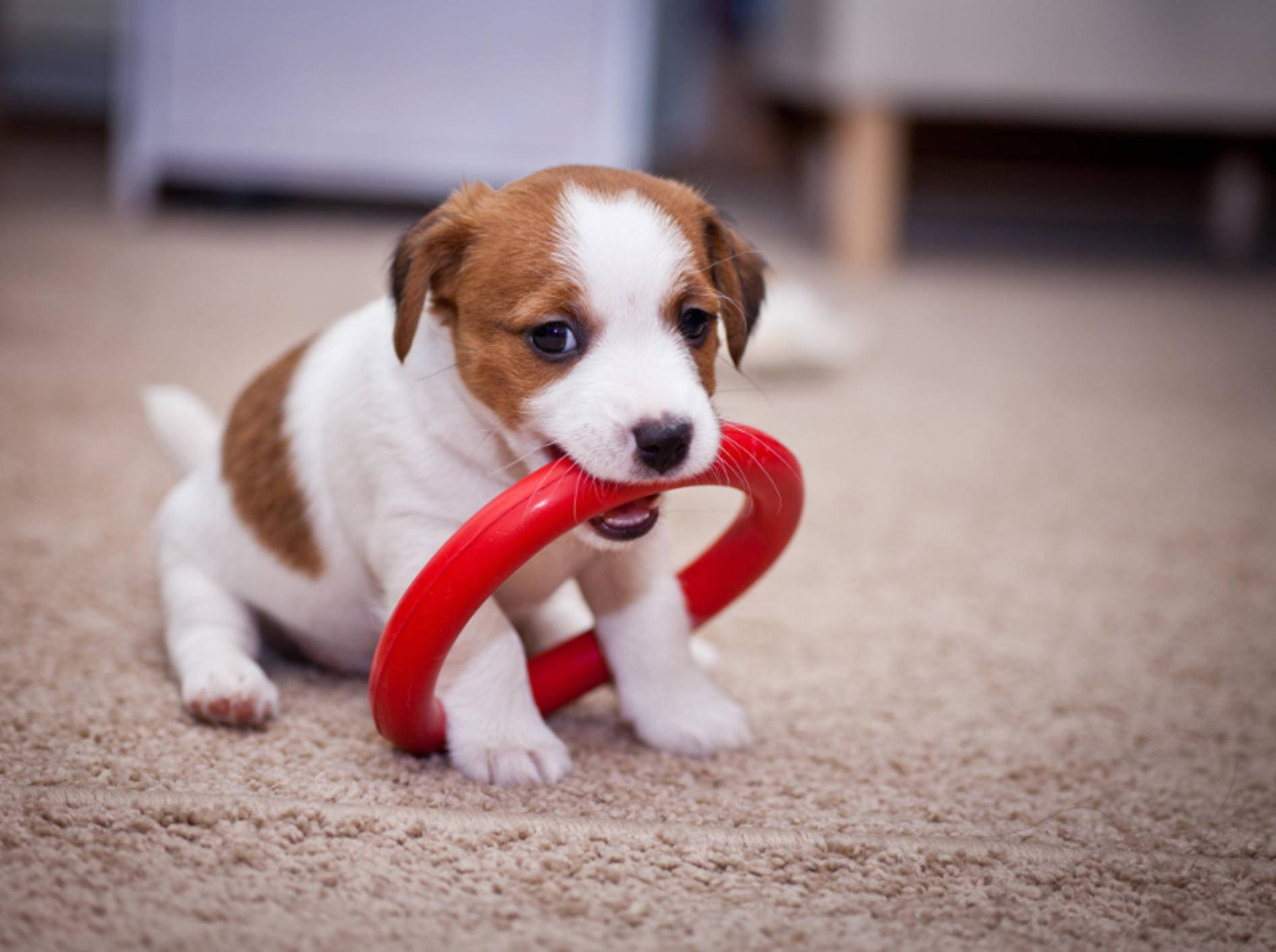 Ein ziemlich großes Spielzeug für so einen kleinen Jack Russell Terrier-Welpen – Bild: Shutterstock / dezi