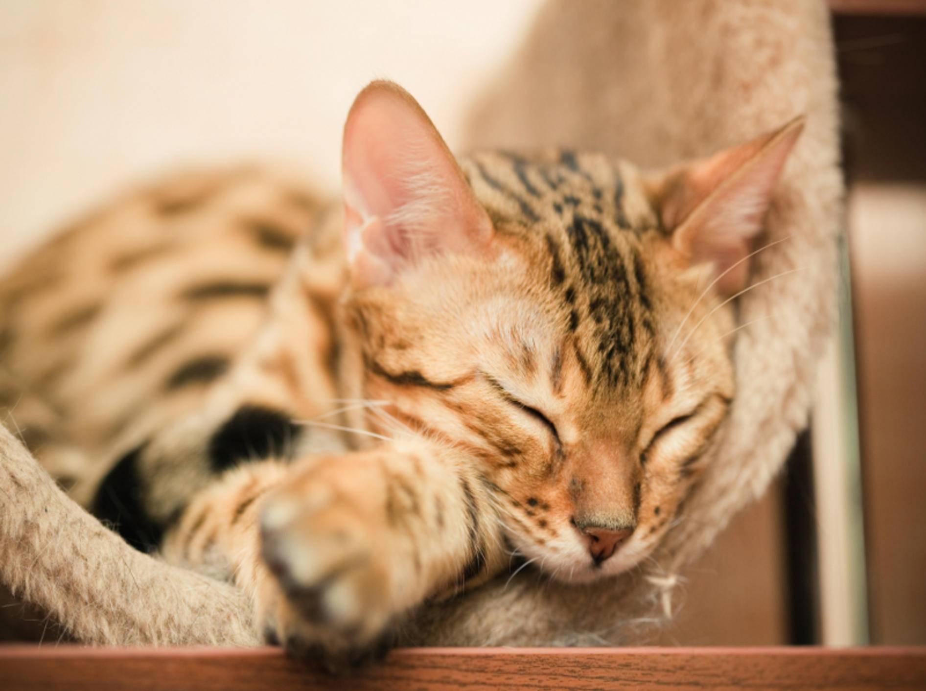 Die Kanaani-Katze ist eine sehr schöne Samtpfote – Shutterstock / Shvaygert Ekaterina