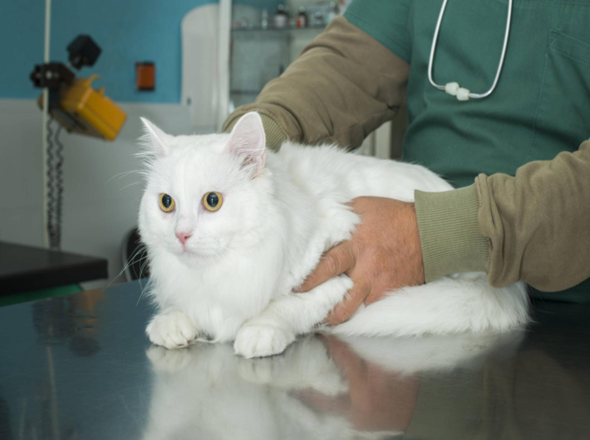Manchmal kann nur eine Röntgen-Untersuchung zeigen, was der Katze fehlt – Shutterstock / Deyan Georgiev