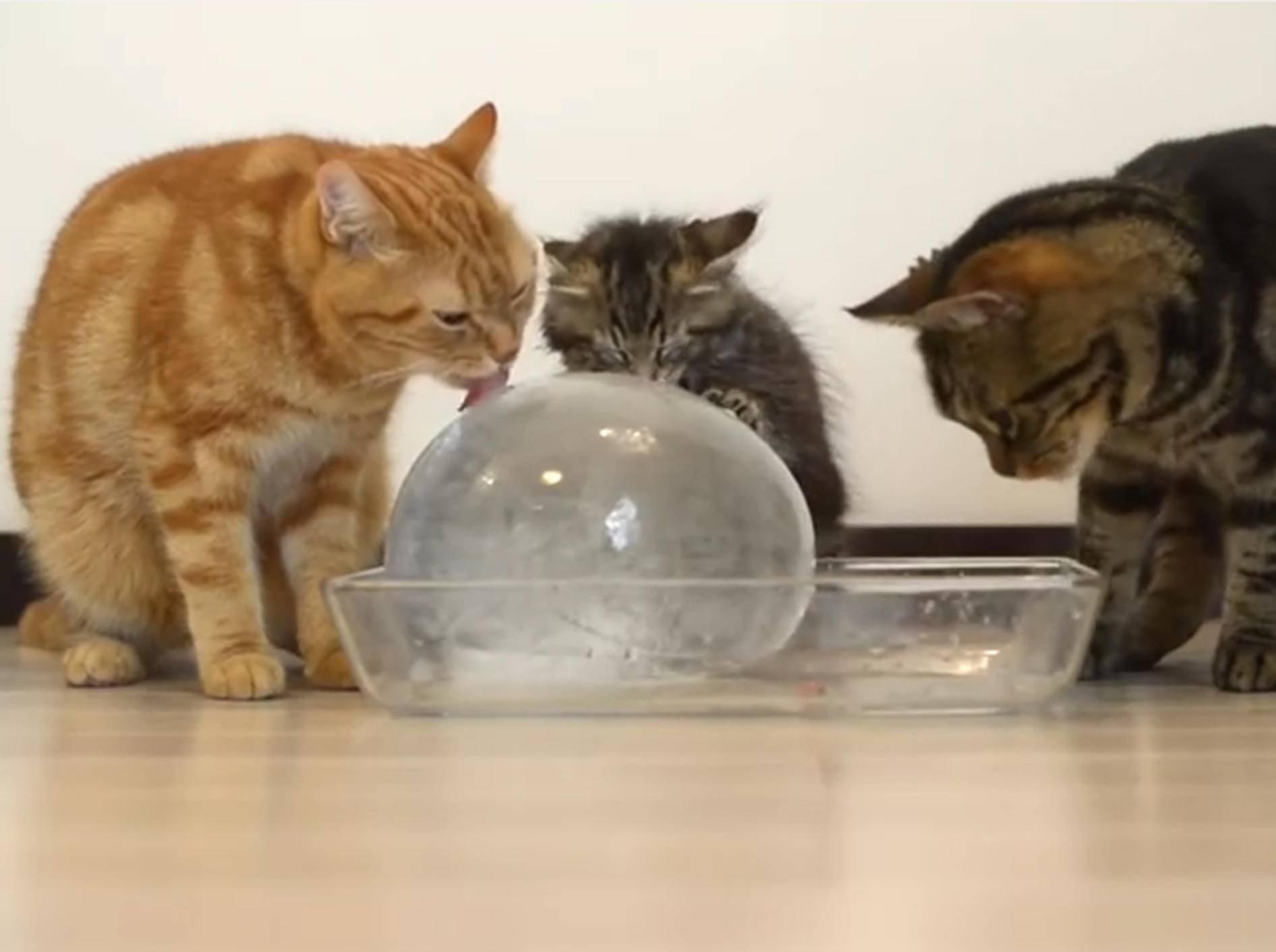 Eine willkommene Abkühlung: Katzen mit Eisball – YouTube / 10 Cats.