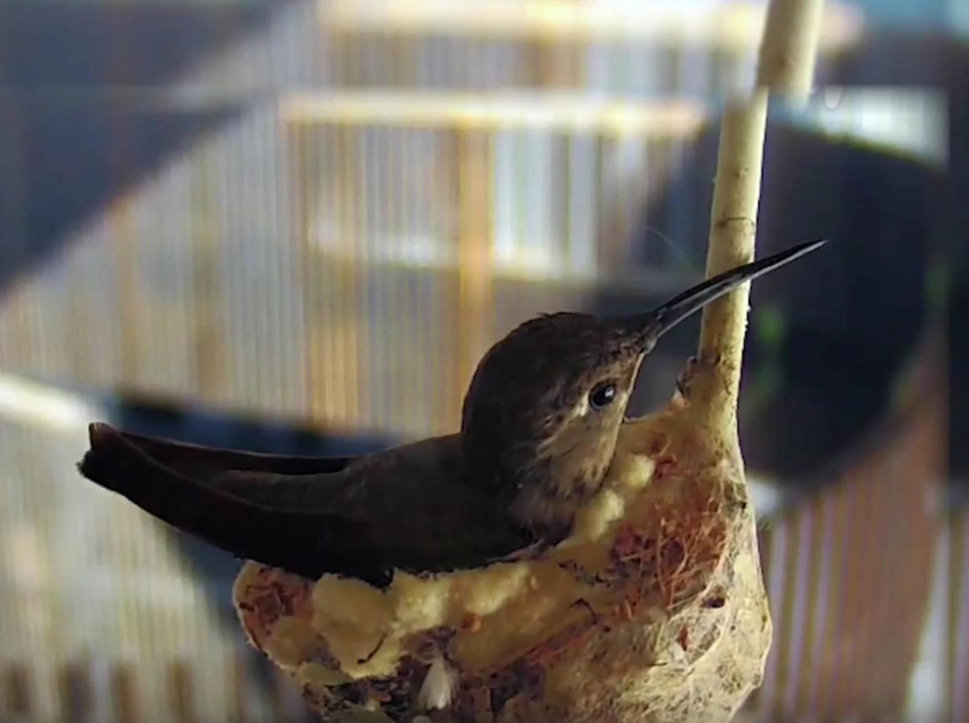 Kolibri sucht Rampenlicht: Nestbau vor Kamera – Bild: YouTube / The University of Arizona