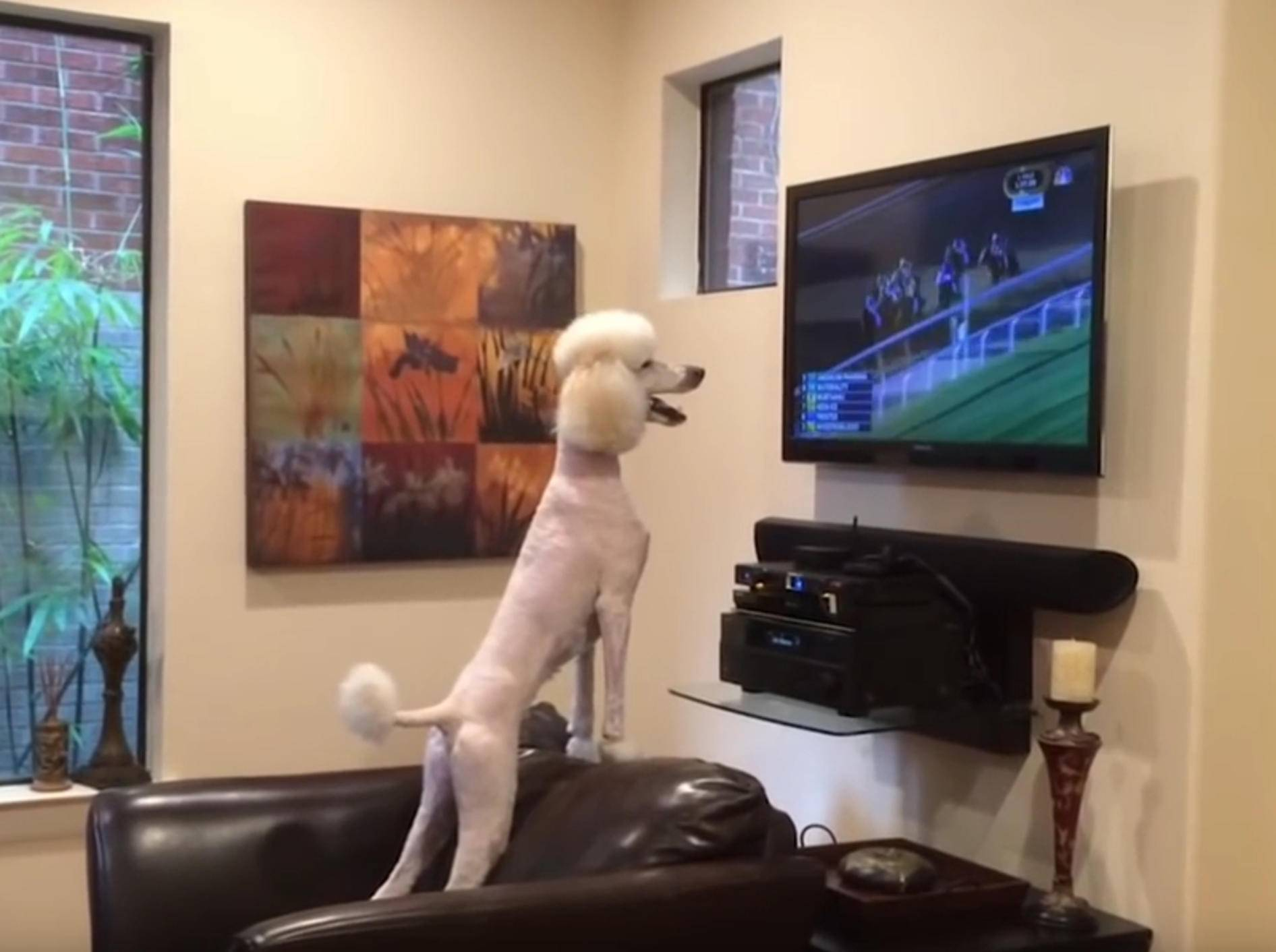 Wuff-wuff! Pudel feuert Pferde beim Rennen an – Bild: YouTube / CutiesNFuzzies