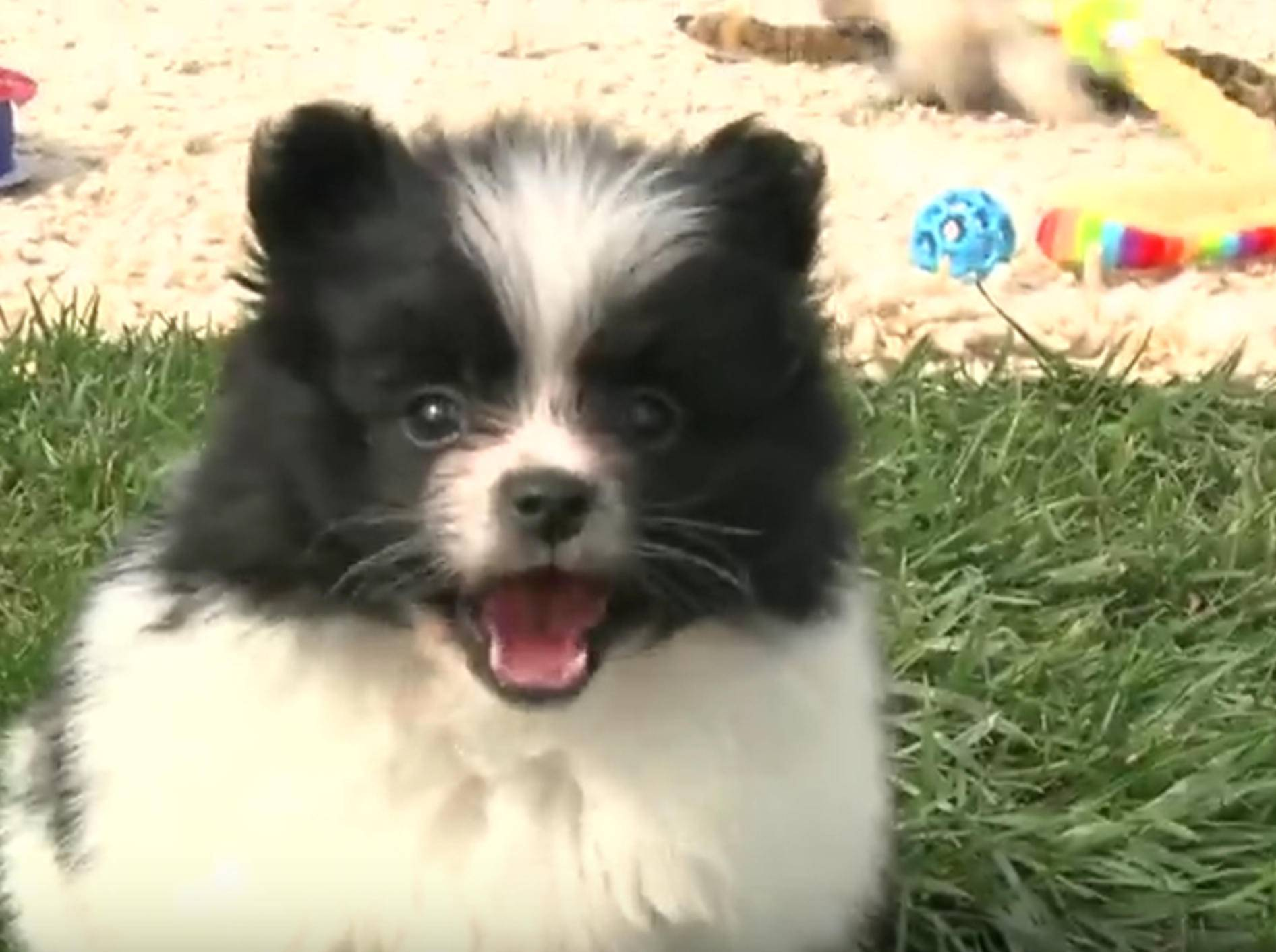 Spaß im Grünen: Spitz-Welpen beim Spielen – Bild: YouTube / The Pet Collective