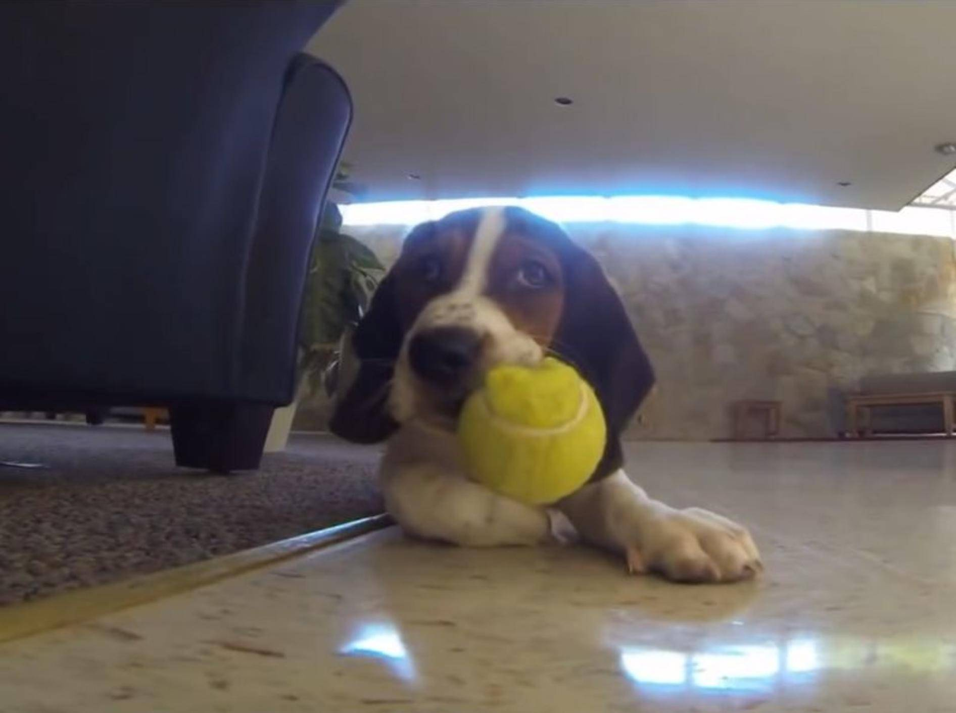"""Meins!"": Basset Hound Welpe liebt seinen Ball – YouTube / Rumble Viral"