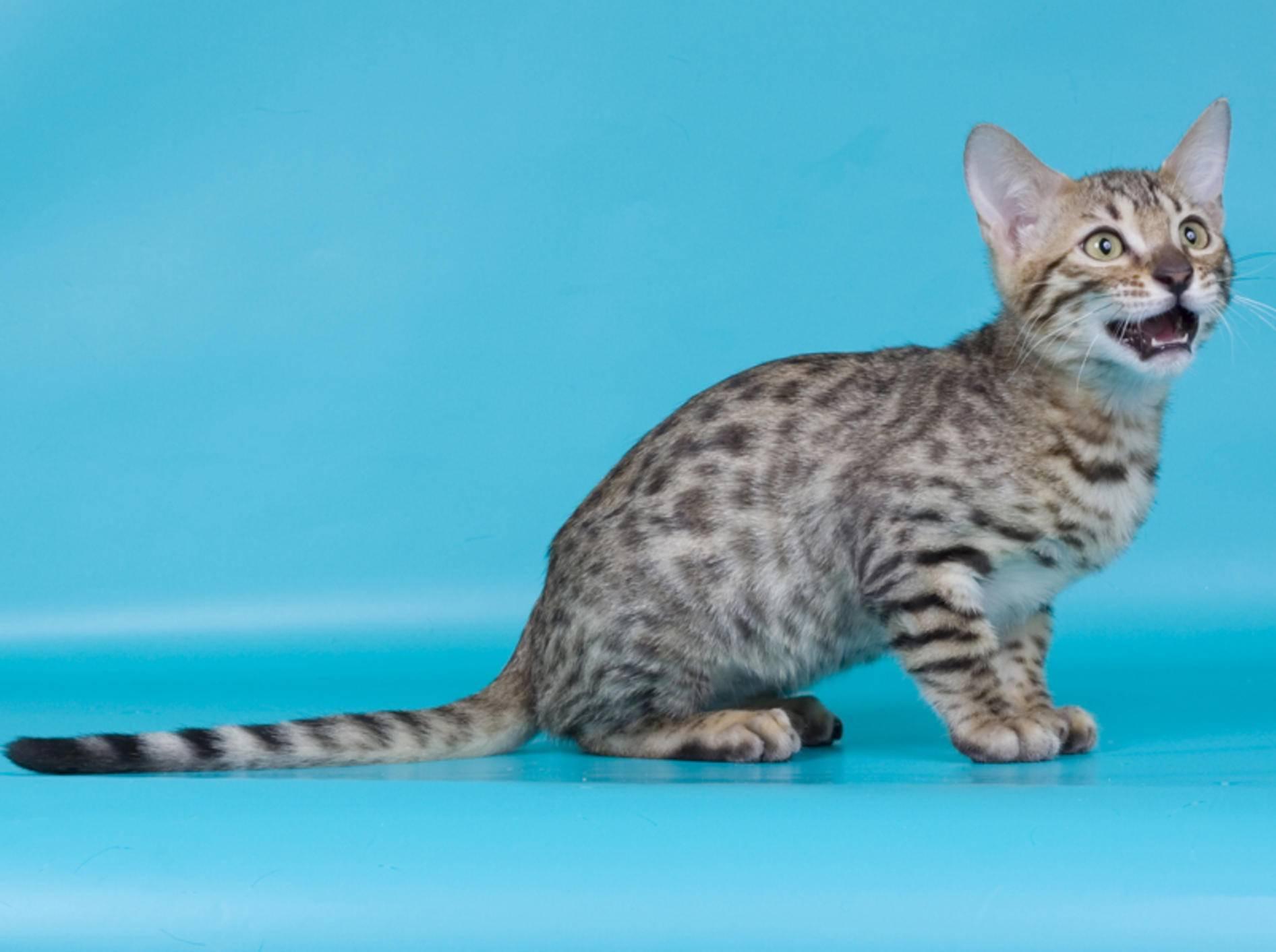 Tupfen, Tupfen, Tupfen! Süße California Spangled Katze – Shutterstock / Vasiliy Khimenko