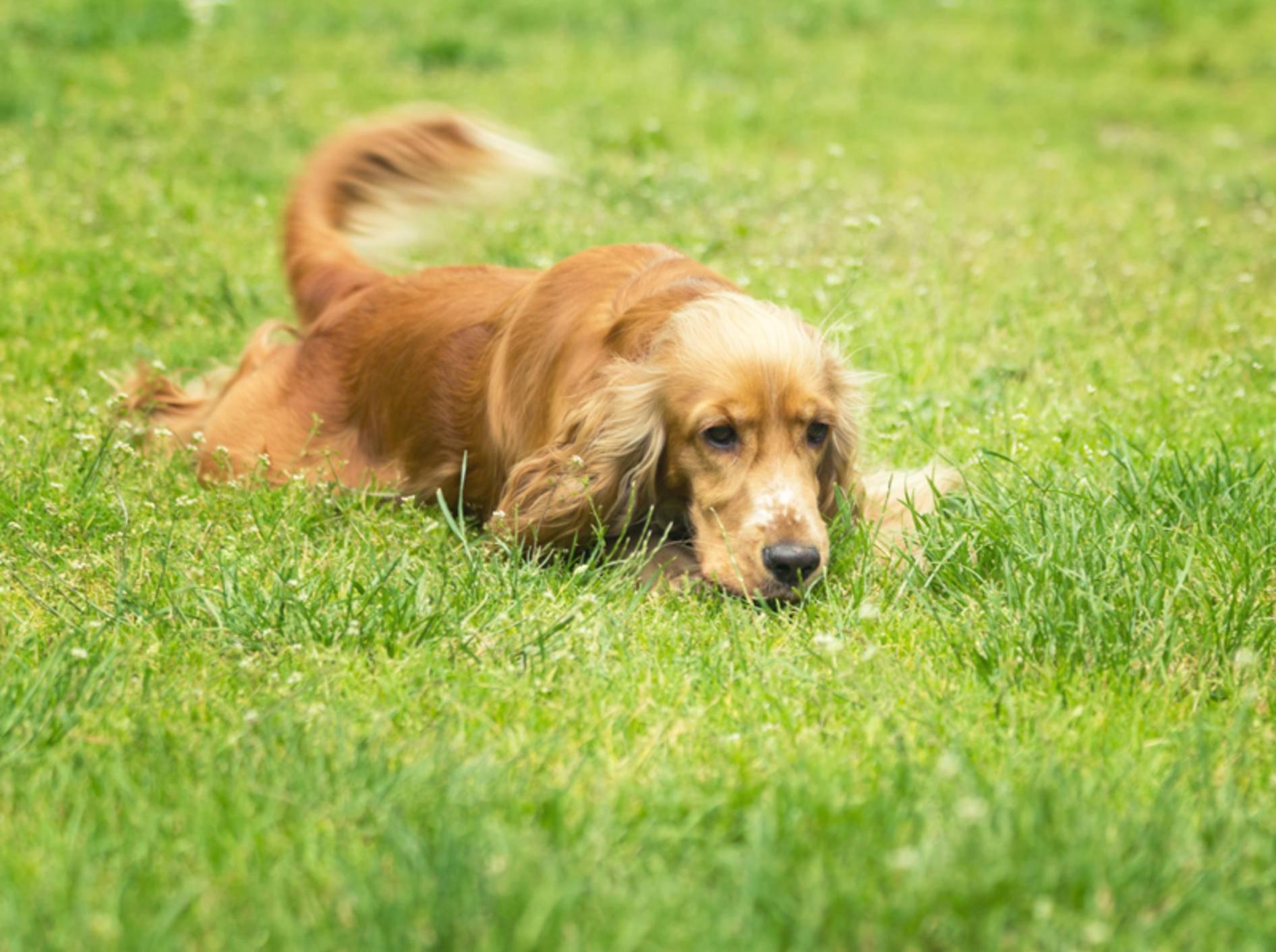 Schwanzwedeln beim Hund bedeutet immer Freude? Leider ein Irrtum! – Shutterstock / Neonci