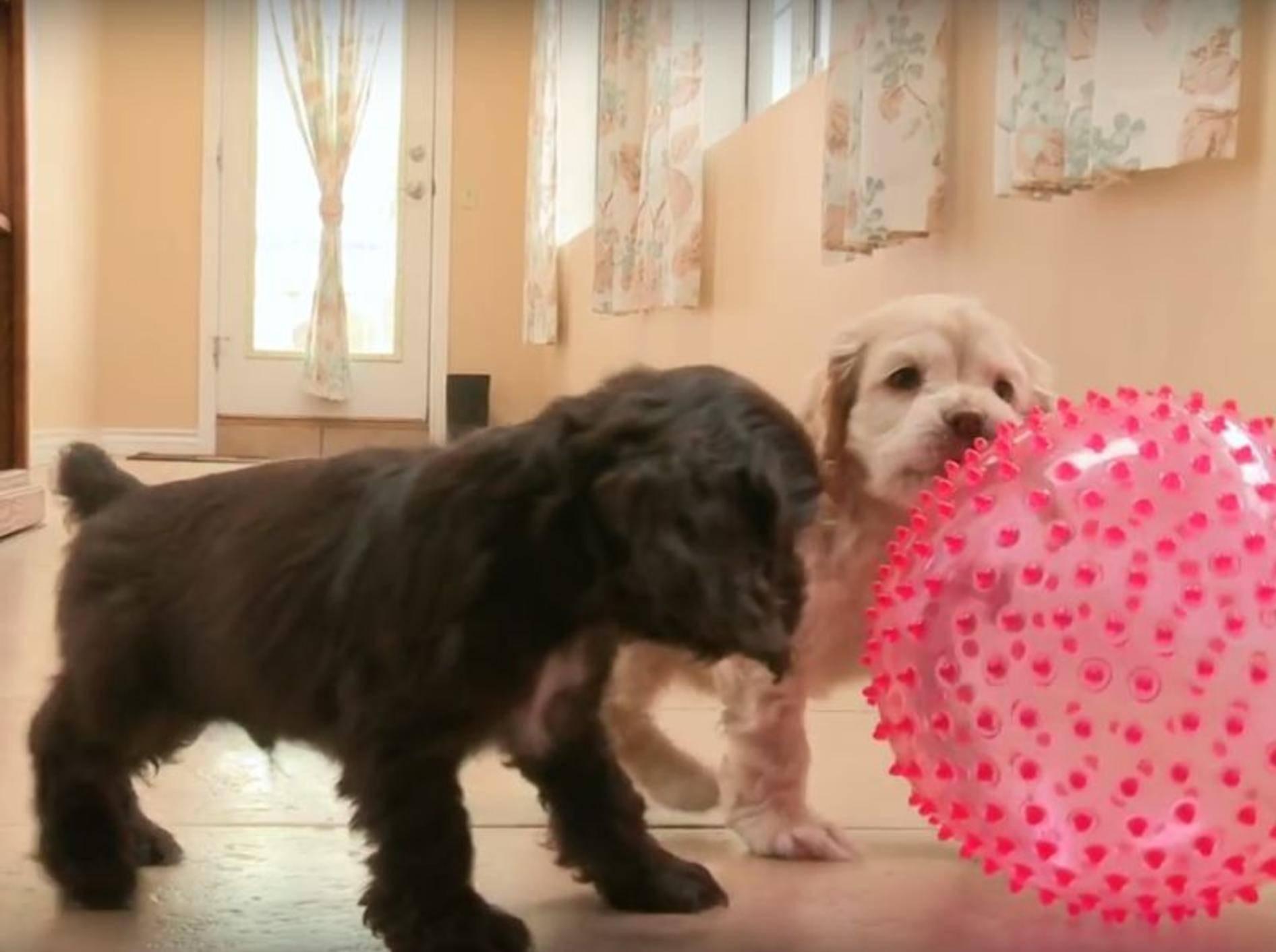 Spielen macht Spaß, finden die beiden süßen Welpen – YouTube / The Pet Collective