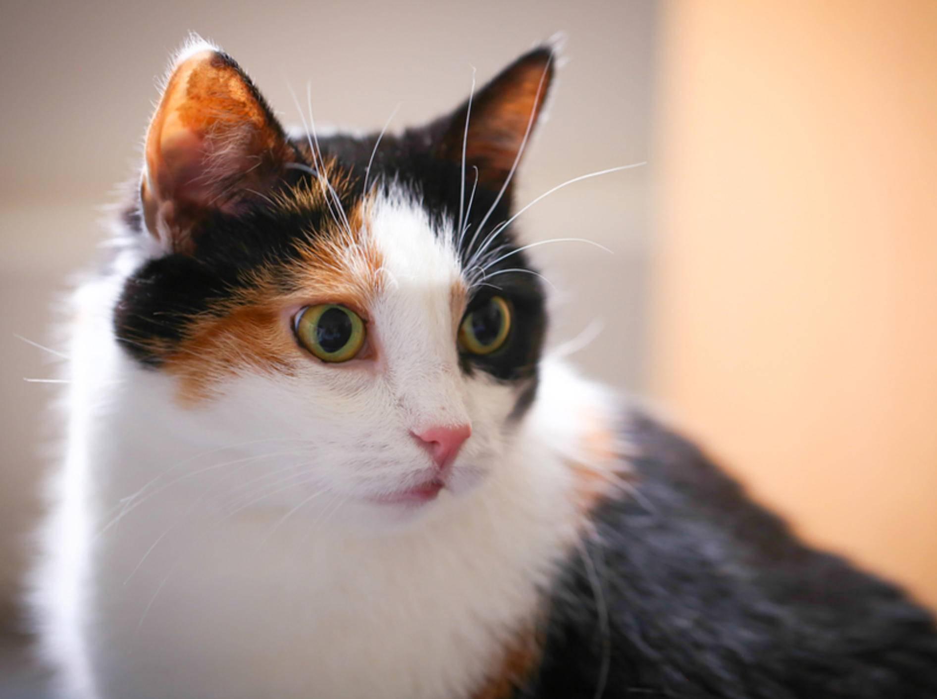 Verliert eine übergewichtige Katze ihren Appetit, besteht die Gefahr einer Fettleber – Bild: Shutterstock / Thy Le