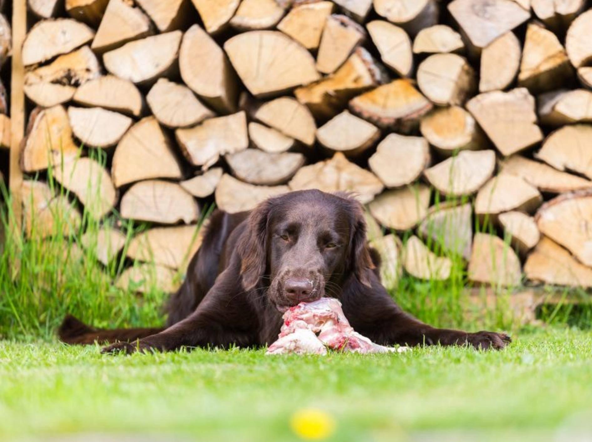Dieser Hund liebt rohes Fleisch – Shutterstock / Phil Stev