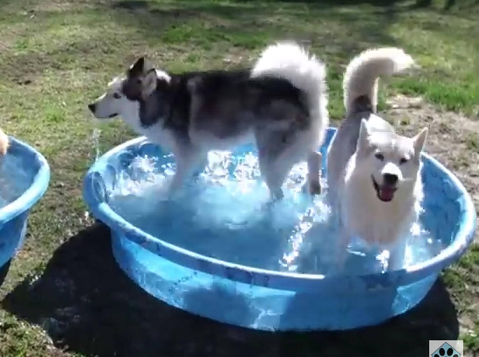 Die Huskys genießen die Abkühlung – YouTube / AnimalHouseforReal