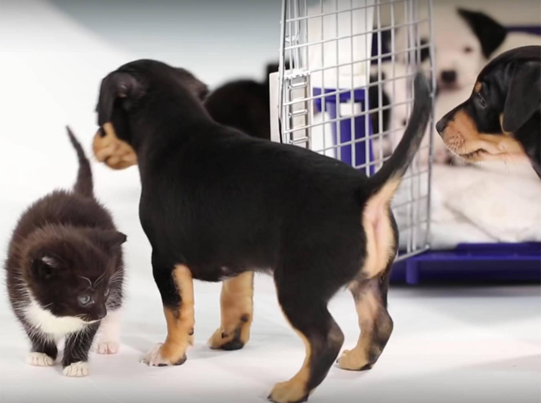 """""""Wollen wir Freunde sein?"""", sagt die Mini-Miez zum Baby-Hund – YouTube / BuzzFeedVideo"""