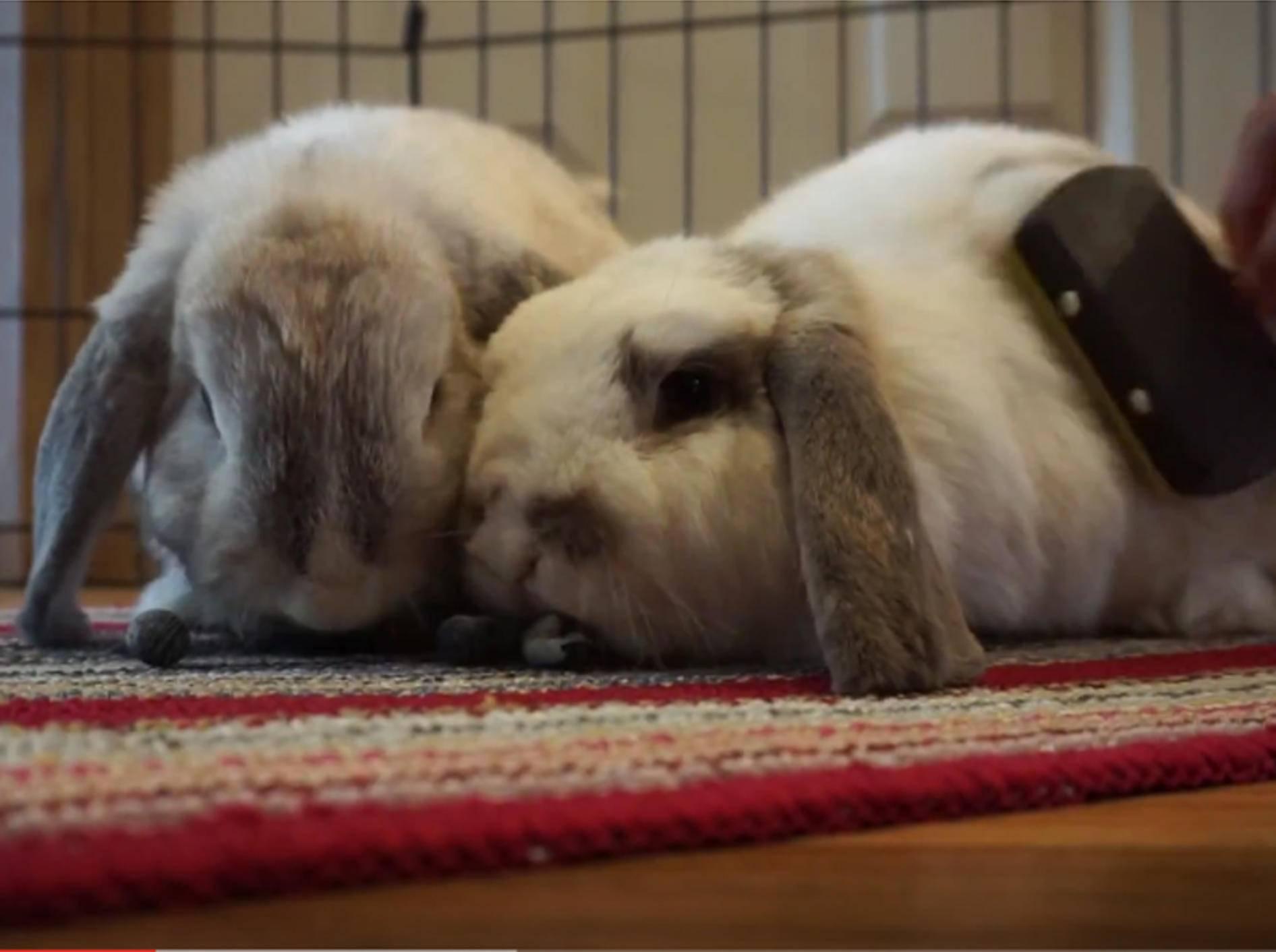 "Kuschelige Kaninchen: ""Tschüss Winterfell, es ist Sommer! "" – YouTube / Leila's Zoo"