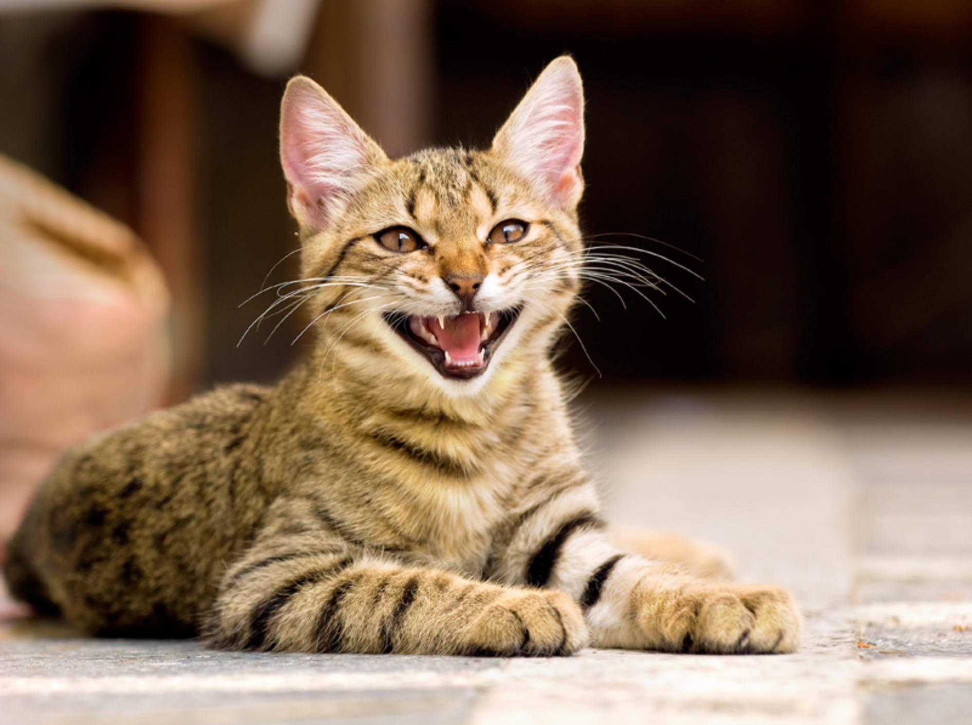 Diese Katze freut sich, dass sie keinen Mundgeruch mehr hat – Shutterstock / Stanimir G.Stoev