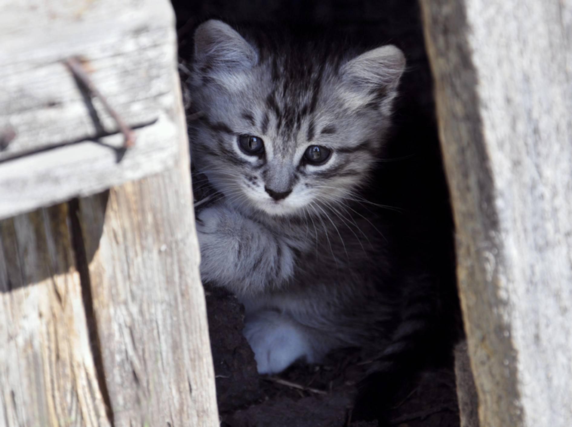 Kleine Katzen vom Bauernhof sind oft sehr scheu – Shutterstock / Sidhe