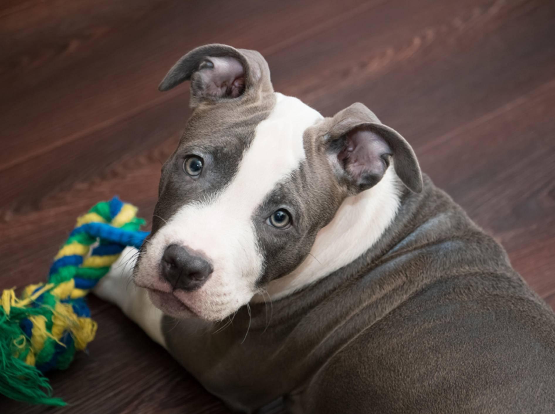 Süßer Pitbull: Der will nur spielen! – Shutterstock / Yurlick