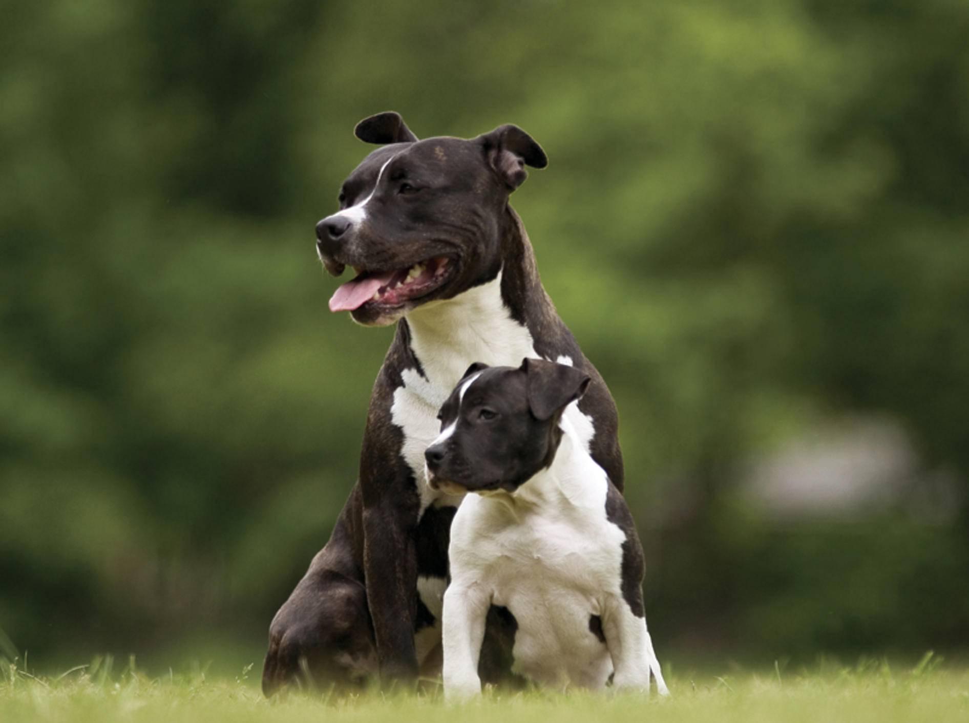 Mama Pitbull passt gut auf den süßen kleinen Welpen auf – Shutterstock / Jan-de Wild